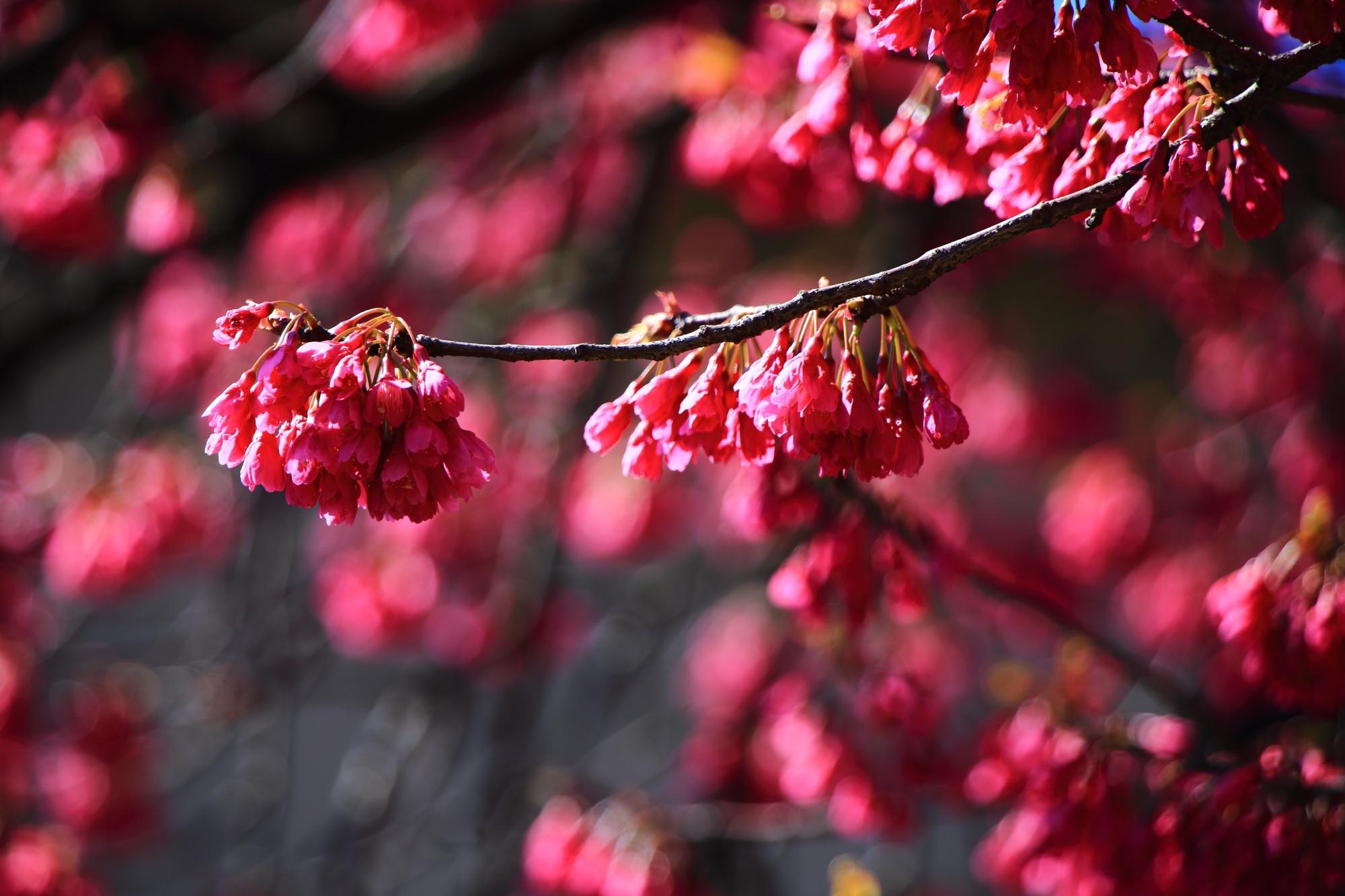 少し変わった形の花をいっぱい咲かせる寒緋桜