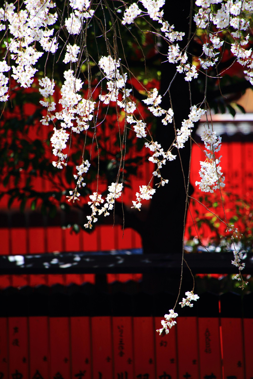 車折神社の赤い玉垣と上品に輝く渓仙桜