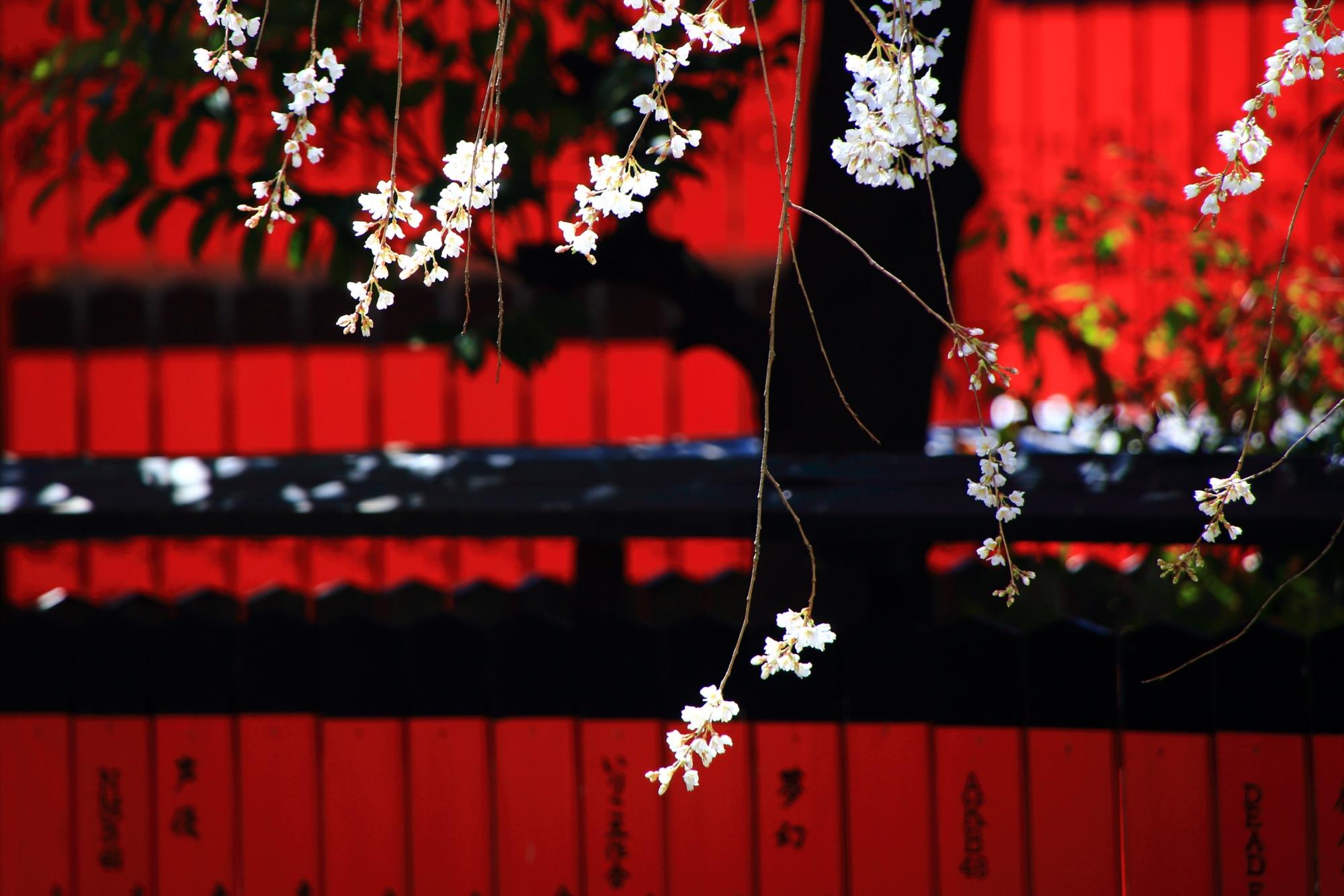 赤い玉垣を背景に揺らぐ華やかな渓仙桜