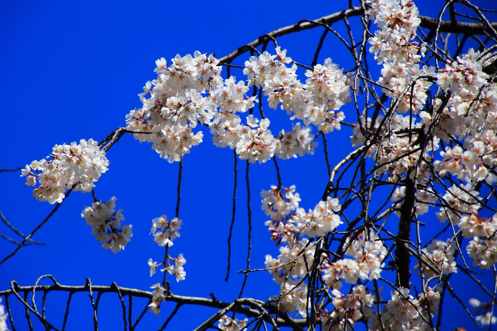 太陽に照らされて輝く渓仙桜