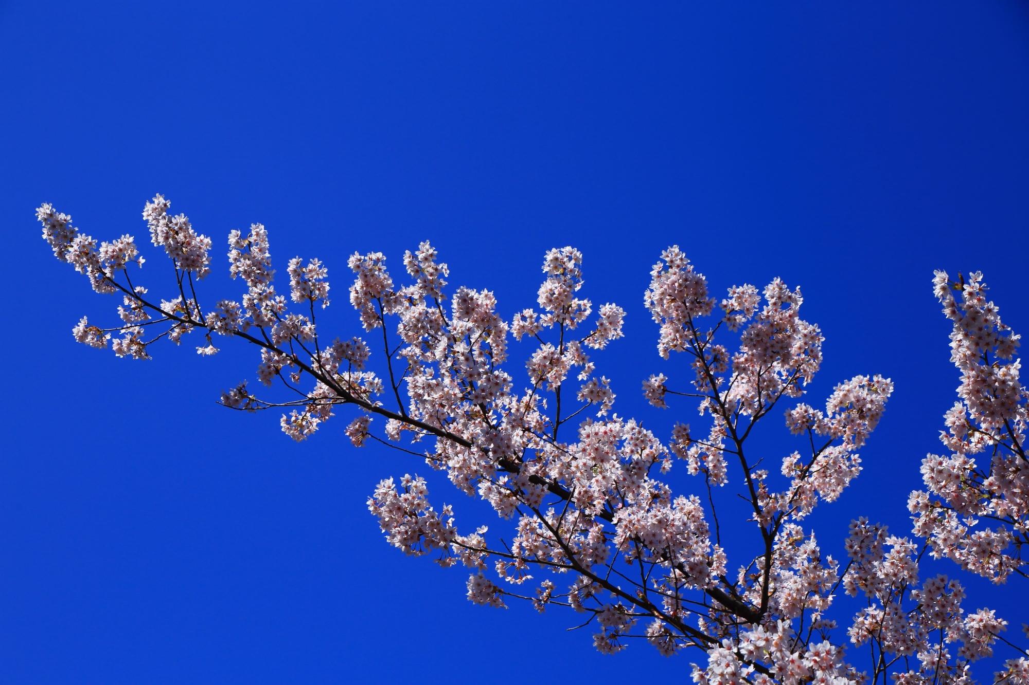 太陽に照らされて輝く満開の桜