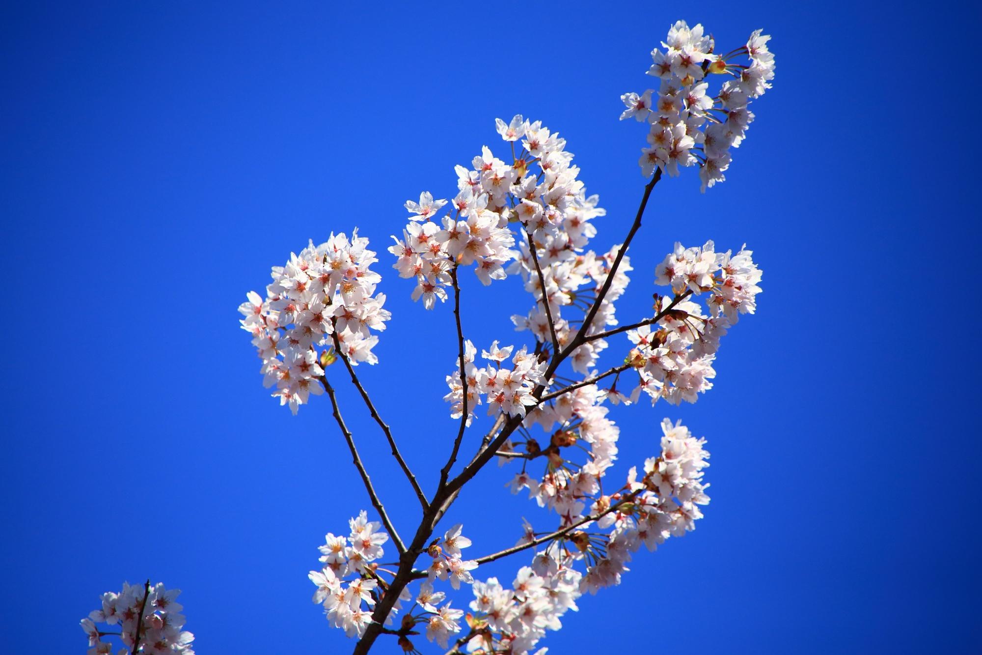 青空に映える白い花を咲かせる早咲きの桜