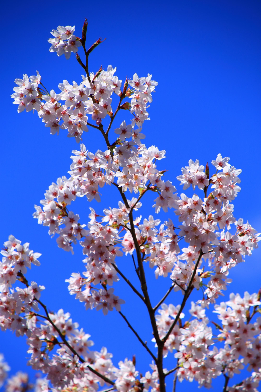 春満開の見事な早咲きの桜