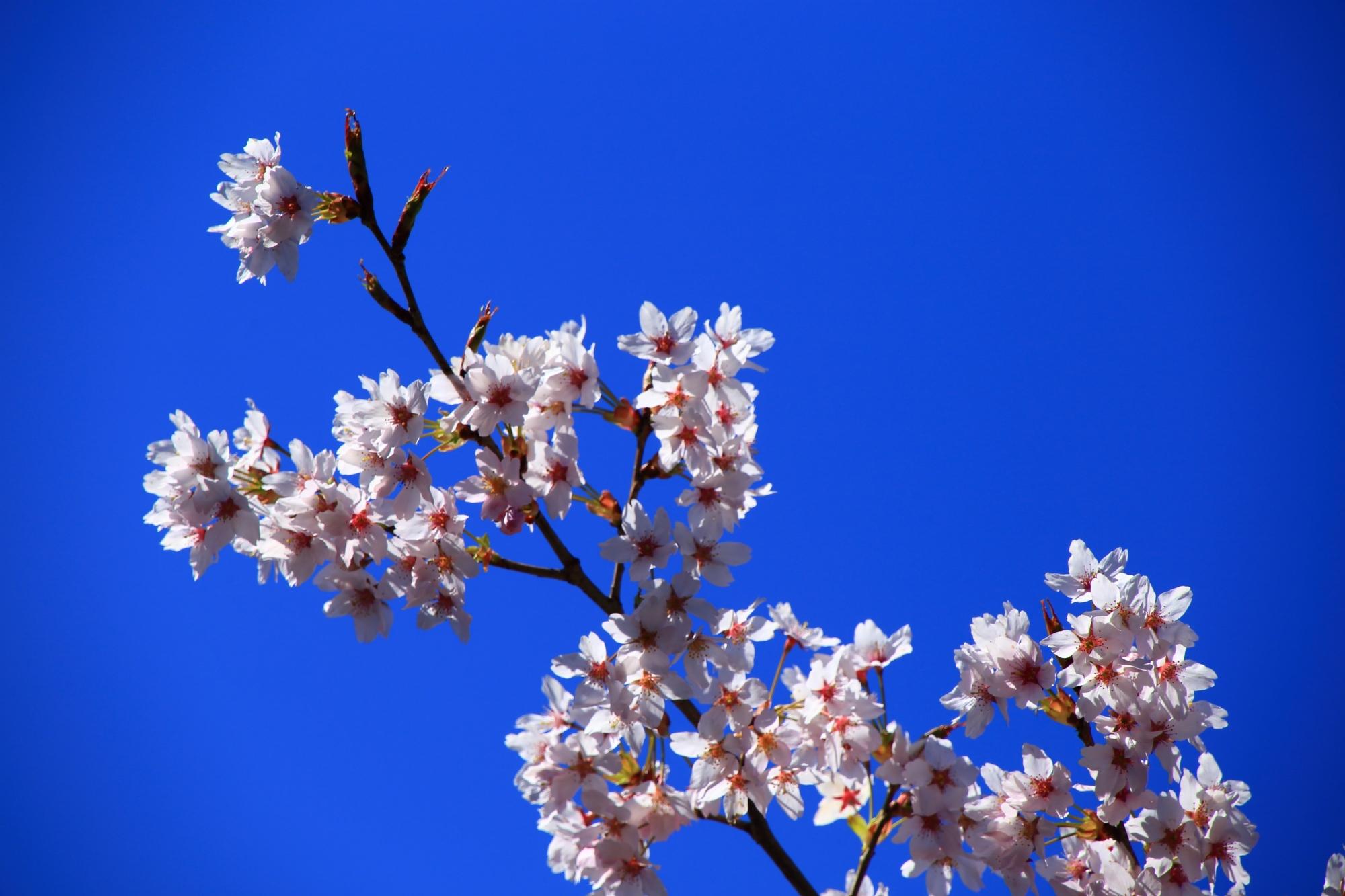 透けるような白い花を咲かせるサクラ