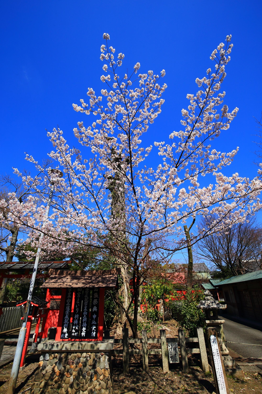 車折神社の天に向かって煌びやかに咲き誇る桜
