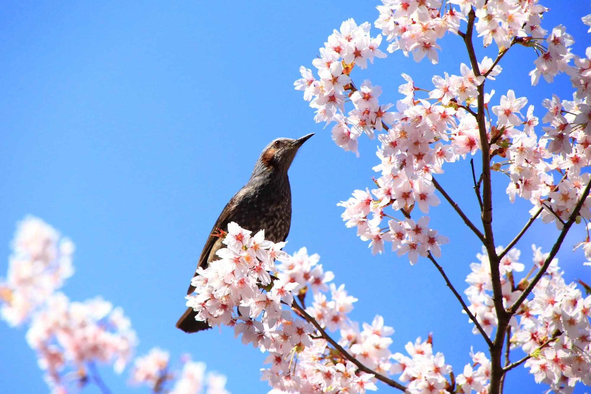 最高の青空の下で花の蜜を吸うヒヨドリ