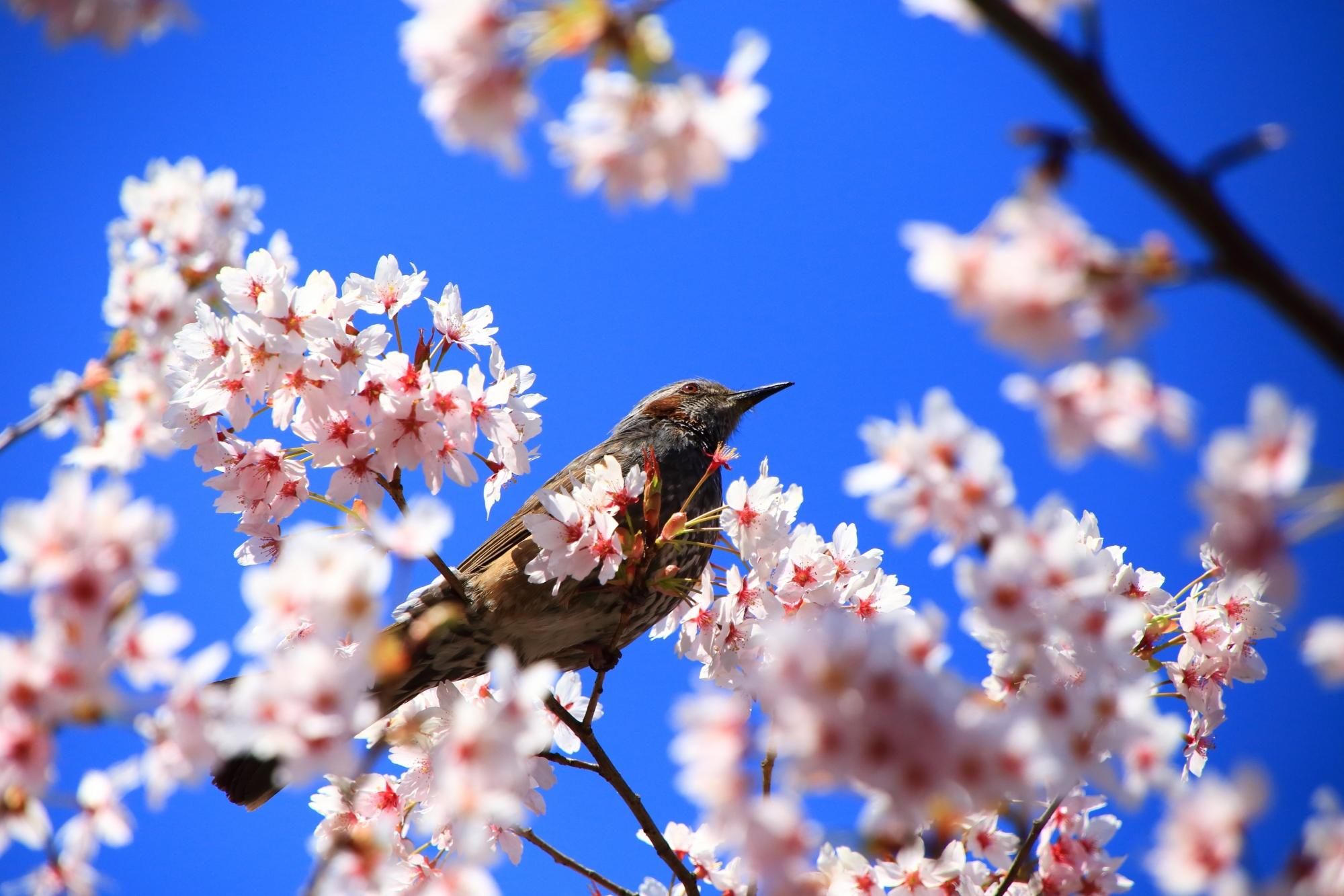 満開の桜の中で戯れるヒヨドリさん