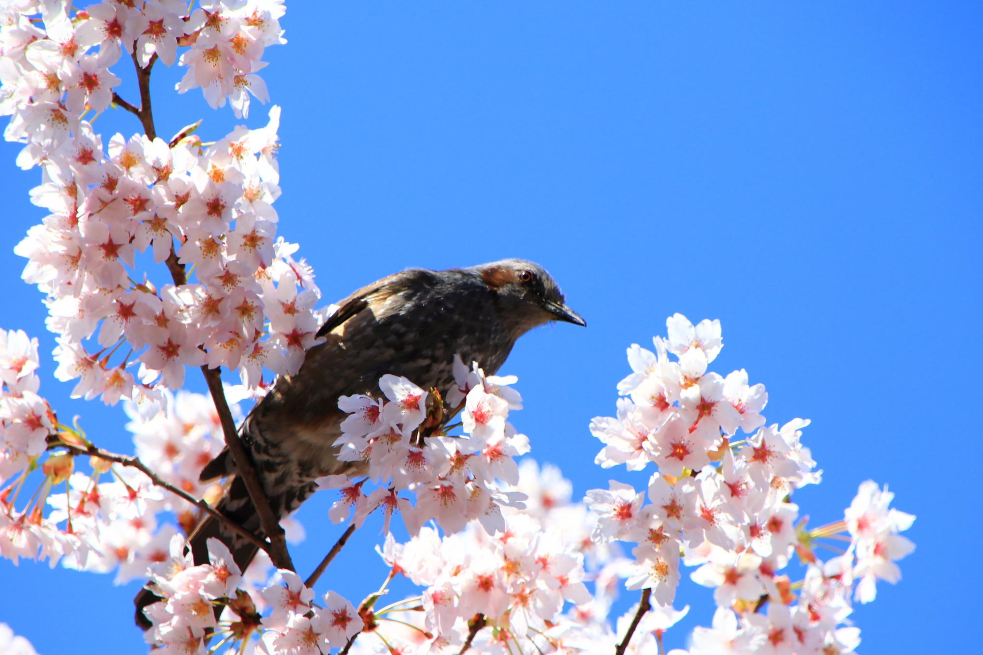 車折神社の桜のヒヨドリさん