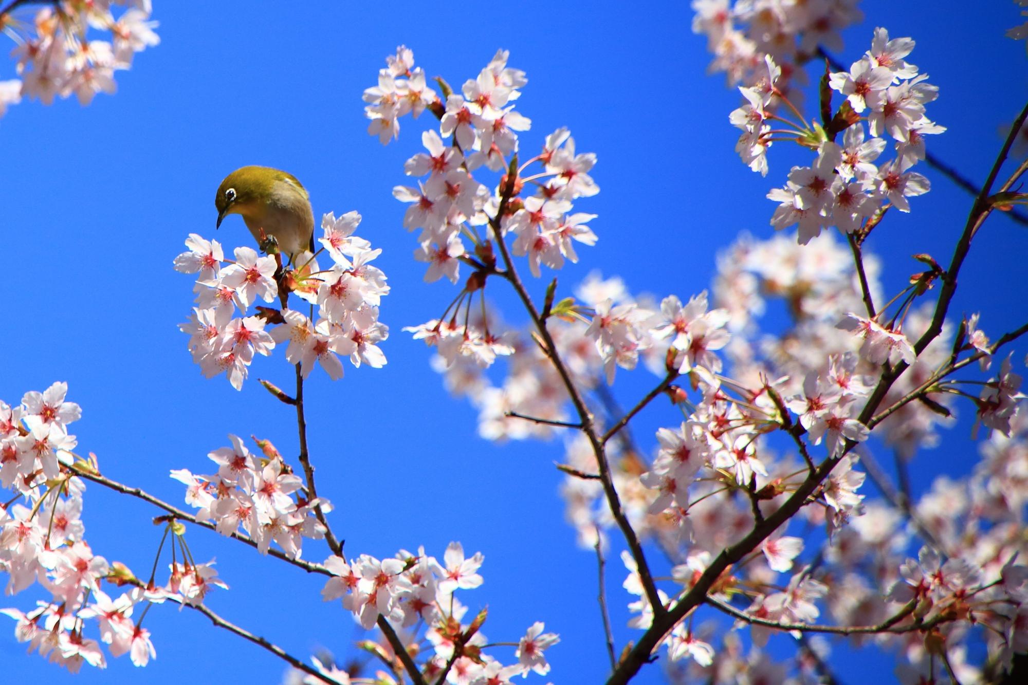 満開の桜の中で戯れるメジロさん