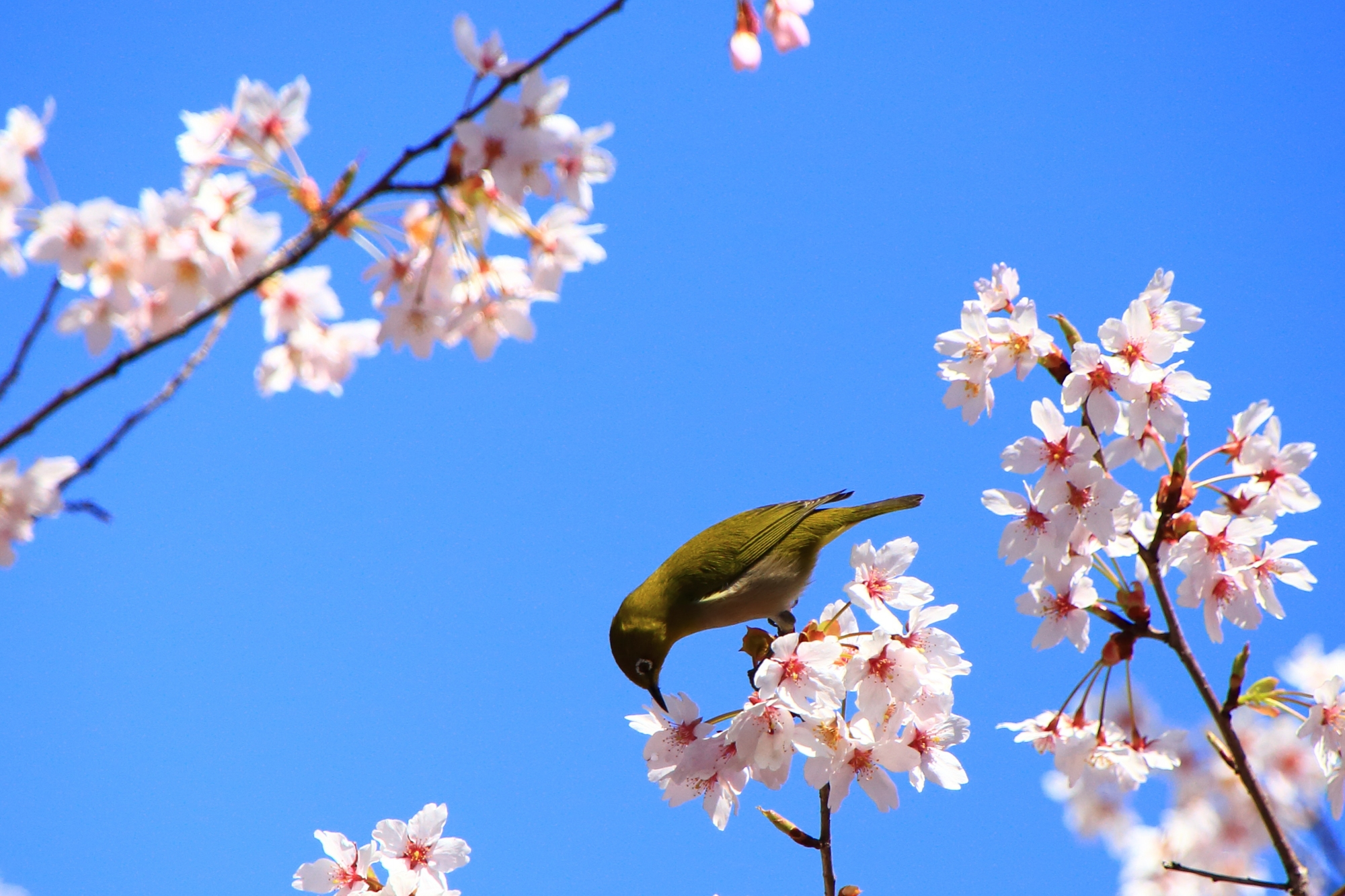 桜の蜜を吸う車折神社の目白