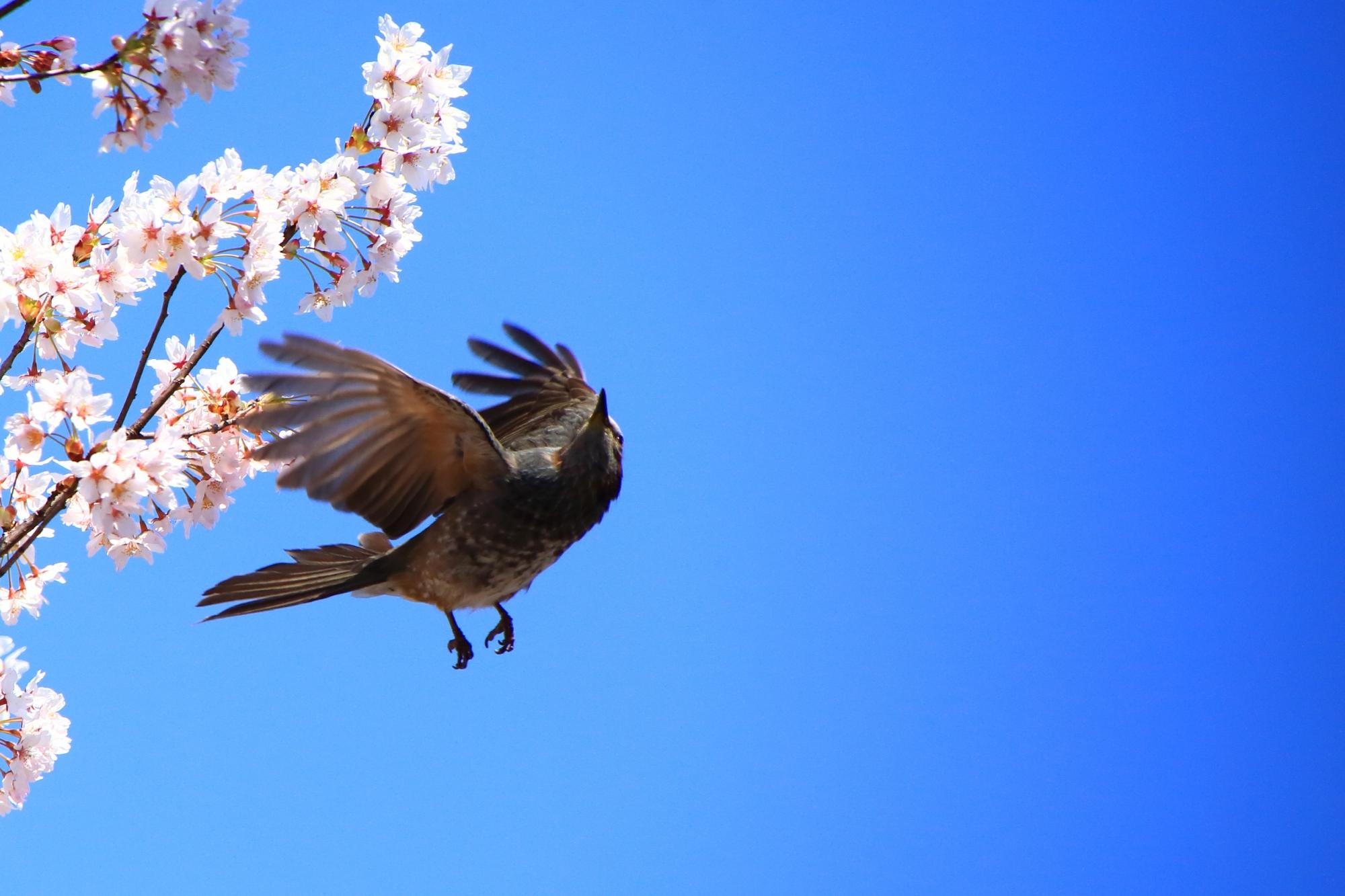 飛び立つヒヨドリさん