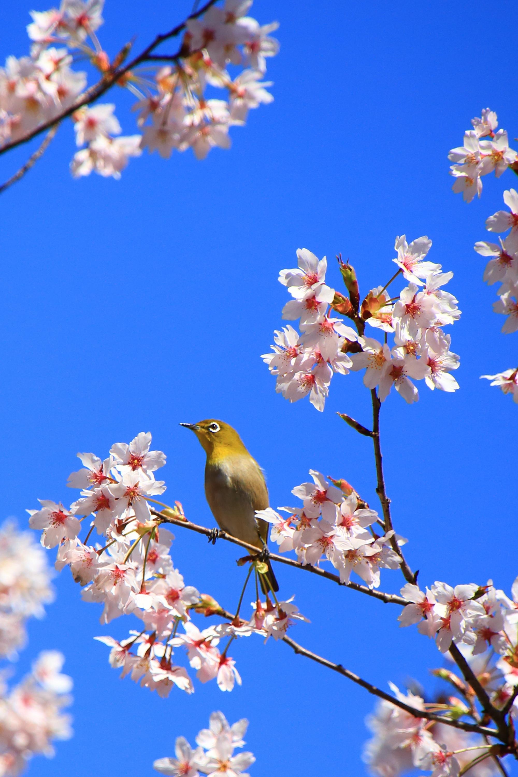 車折神社の素晴らしい桜と鳥と春の情景