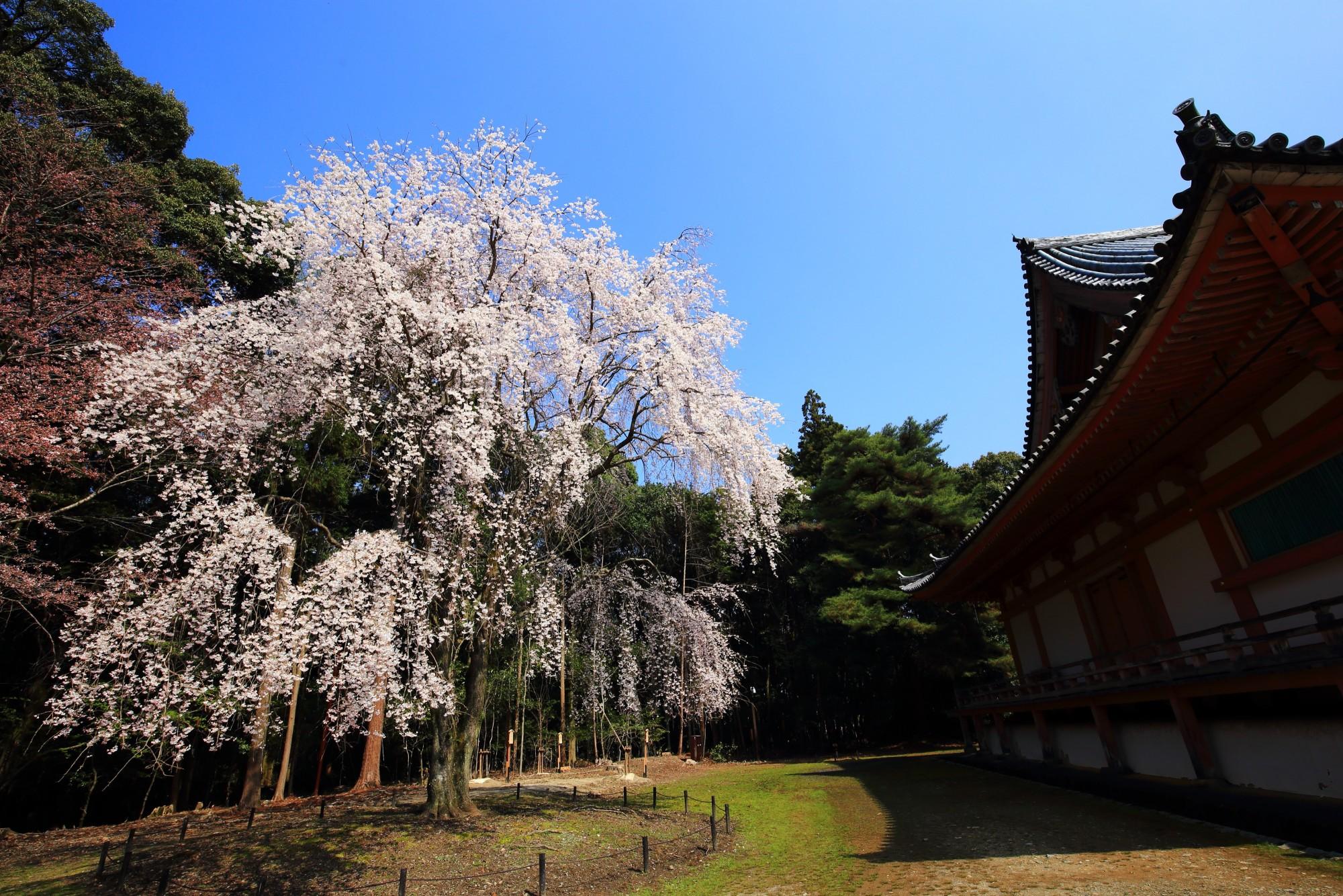 醍醐寺 桜 秀吉の醍醐の花見で有名な桜の名所