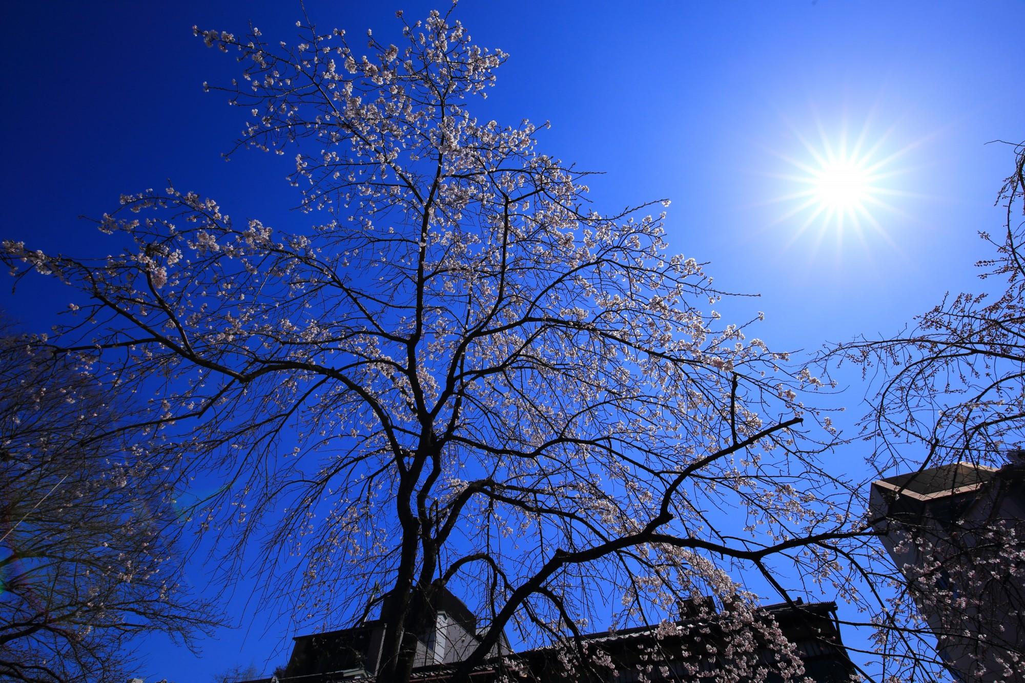 かにかくに碑の桜