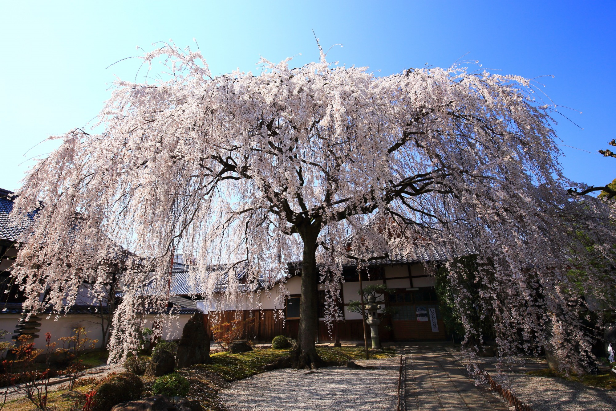 本満寺 桜 美しすぎる極上のしだれ桜