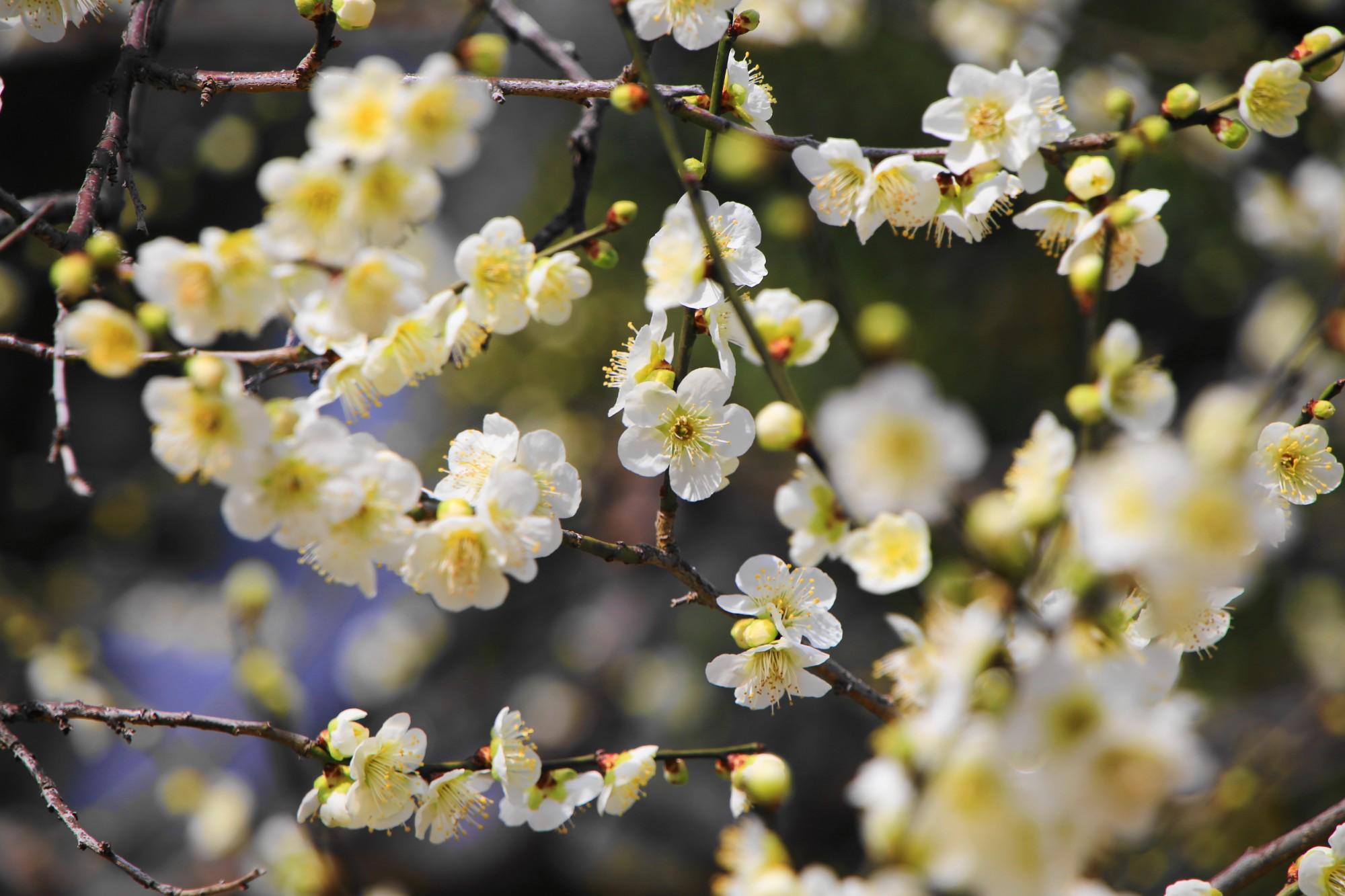 色とりどりの可愛い梅の花
