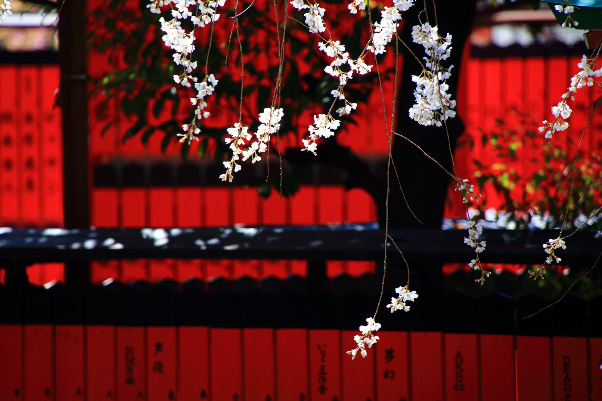 車折神社 渓仙桜 メジロと煌びやかな早咲きの桜