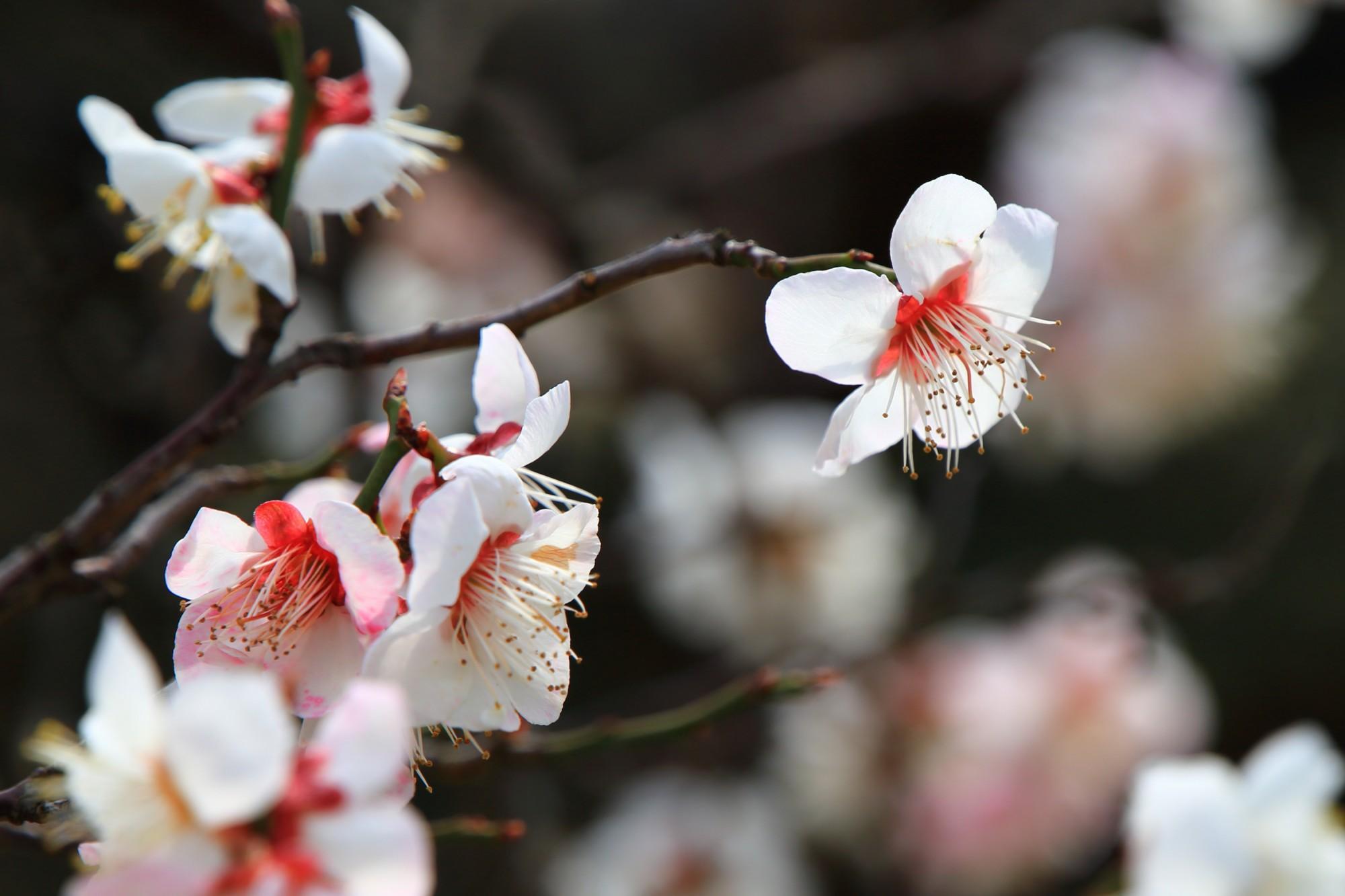 春の訪れを告げる可愛い梅の花
