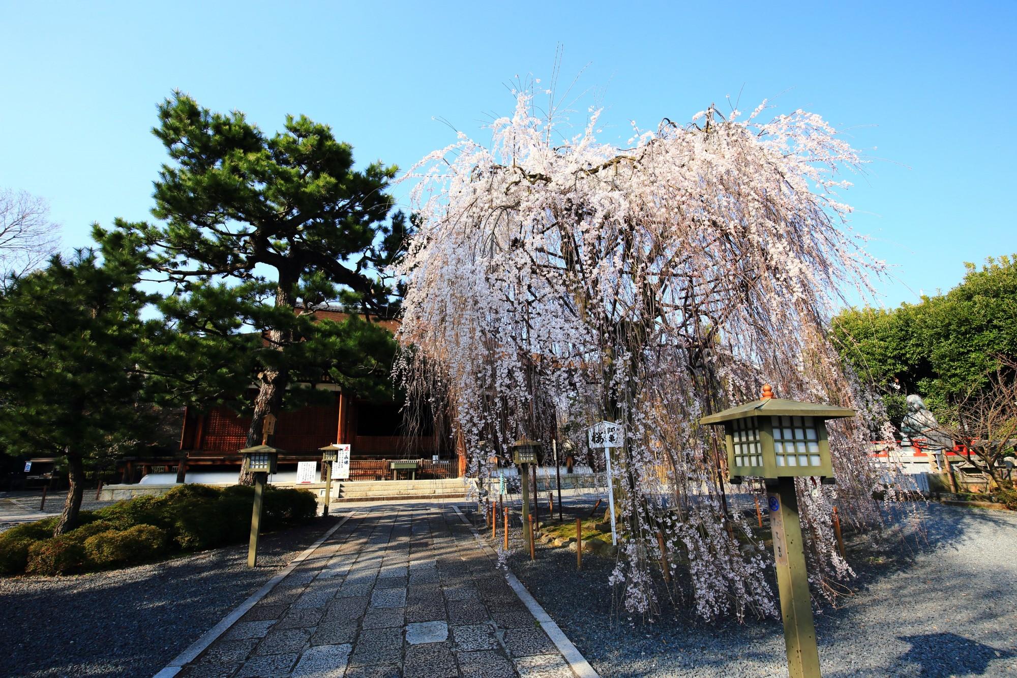 千本釈迦堂 阿亀桜(おかめざくら) しなやかな枝垂れ桜