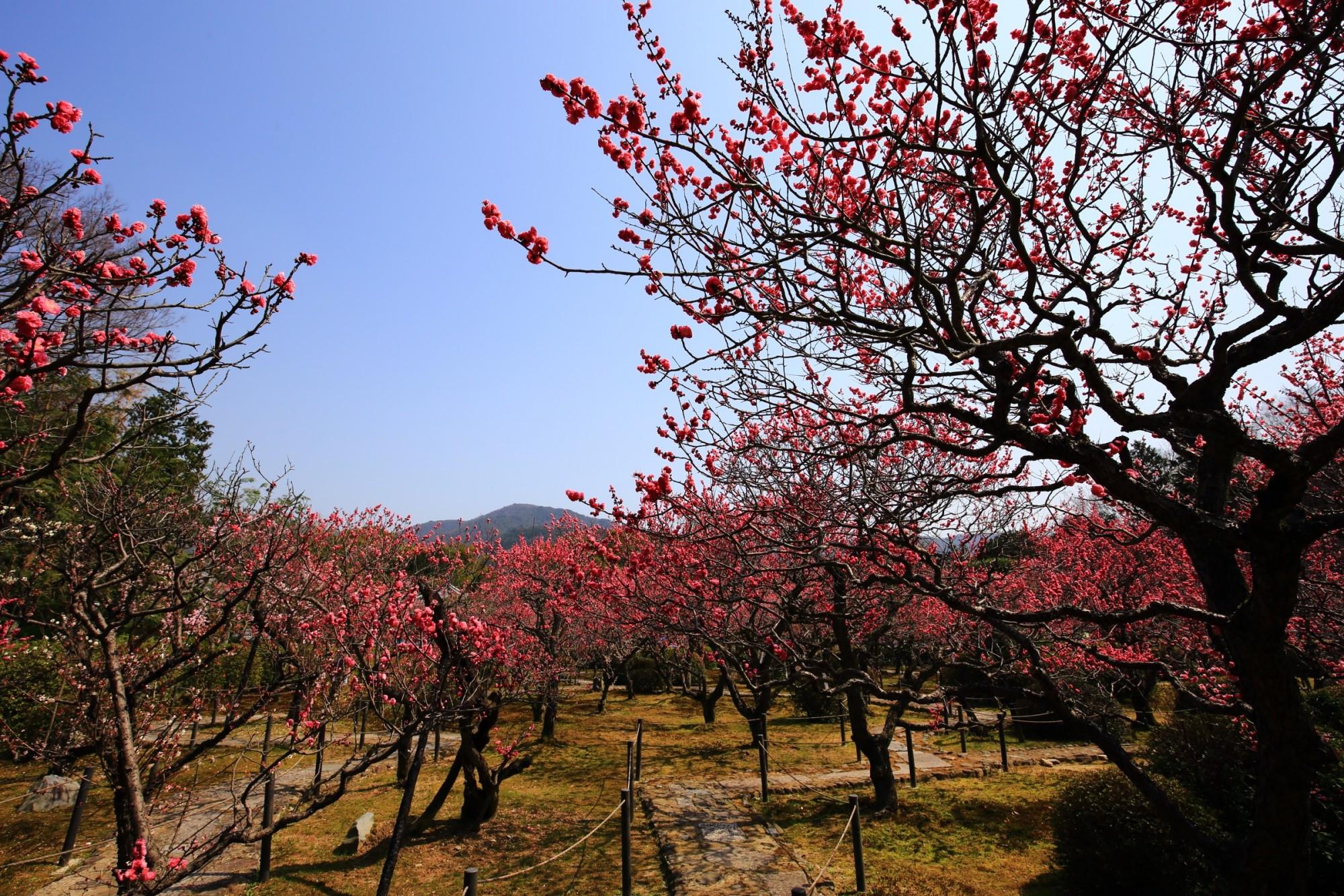 随心院 梅 春の小野梅園 山科の梅の名所