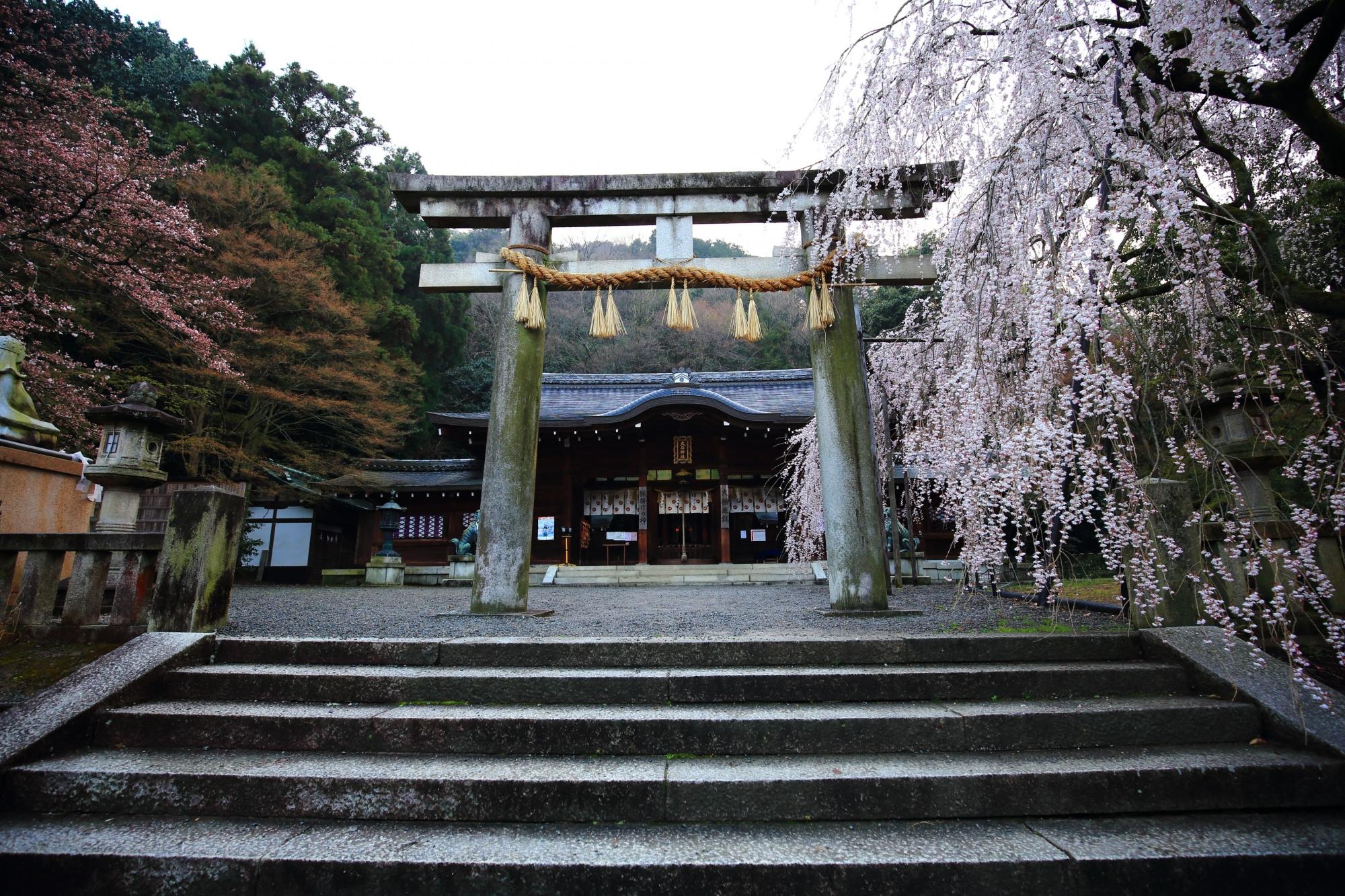 大石神社の本殿前の鳥居と大石桜