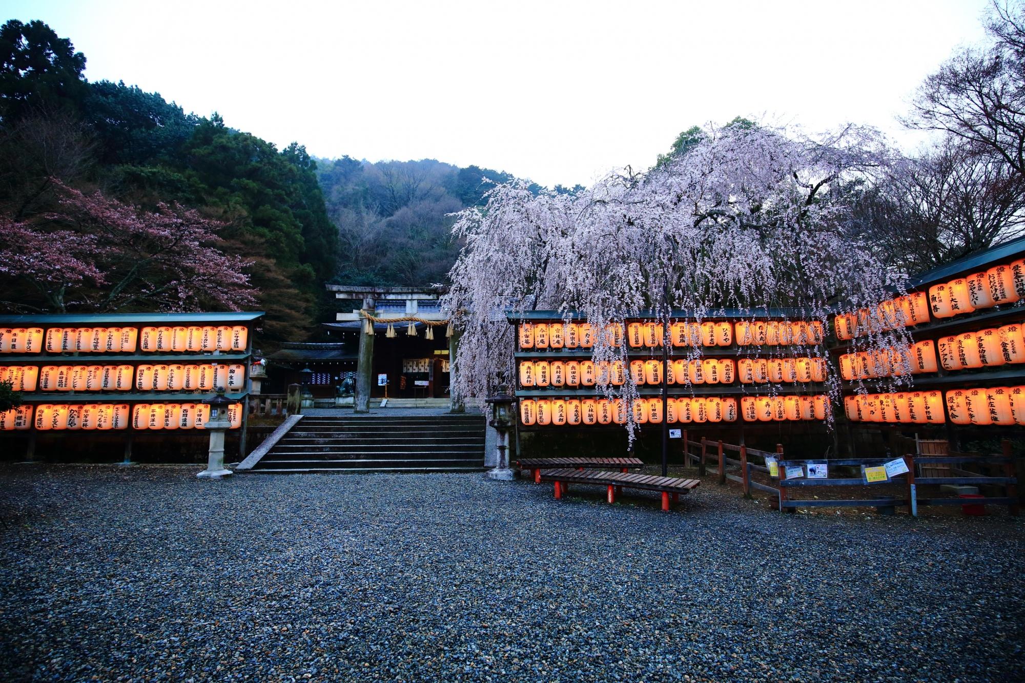 徐々に日が暮れ明りが目立つ駒形提灯と桜