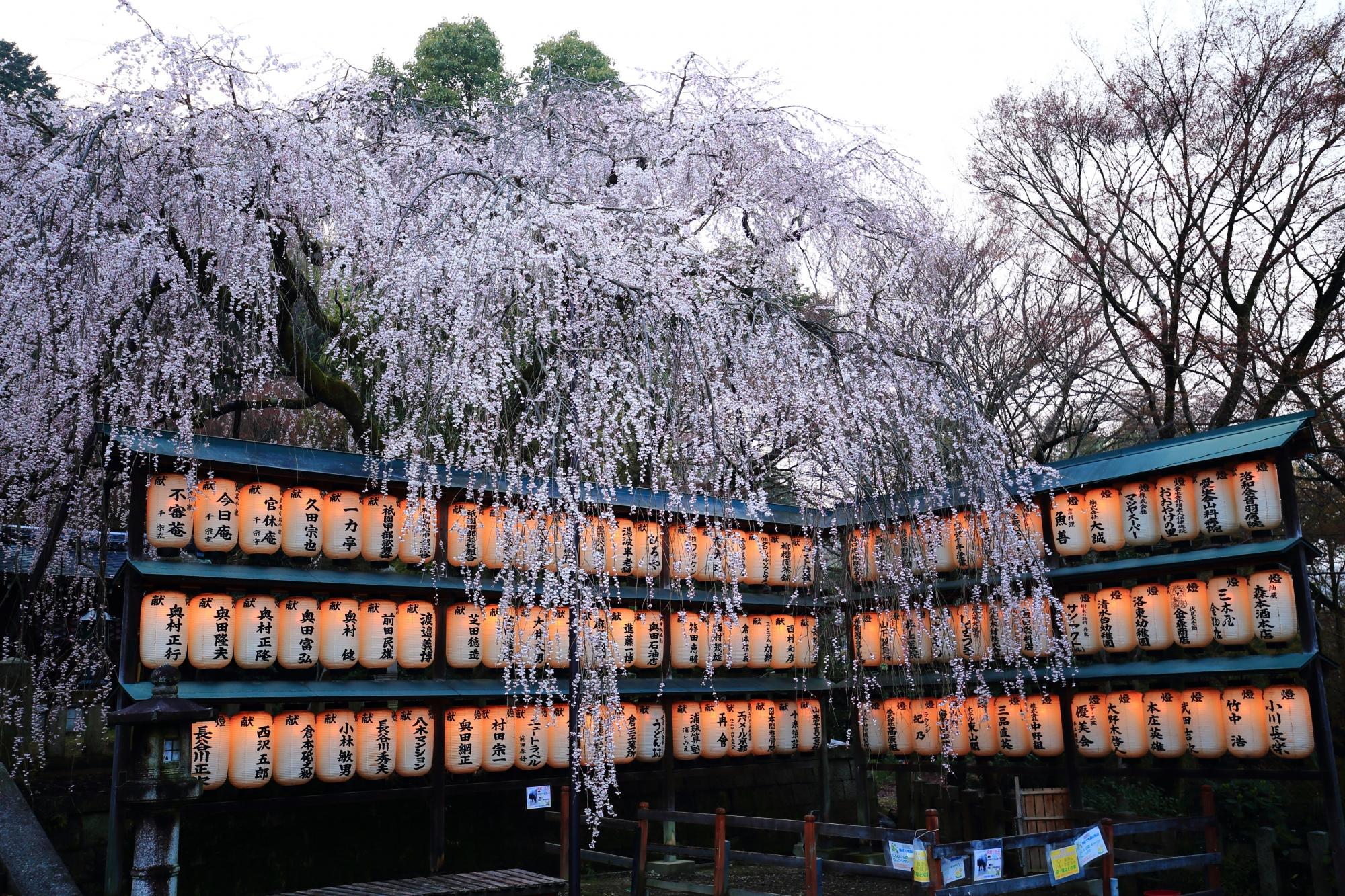 絵になる春のしだれ桜の風景