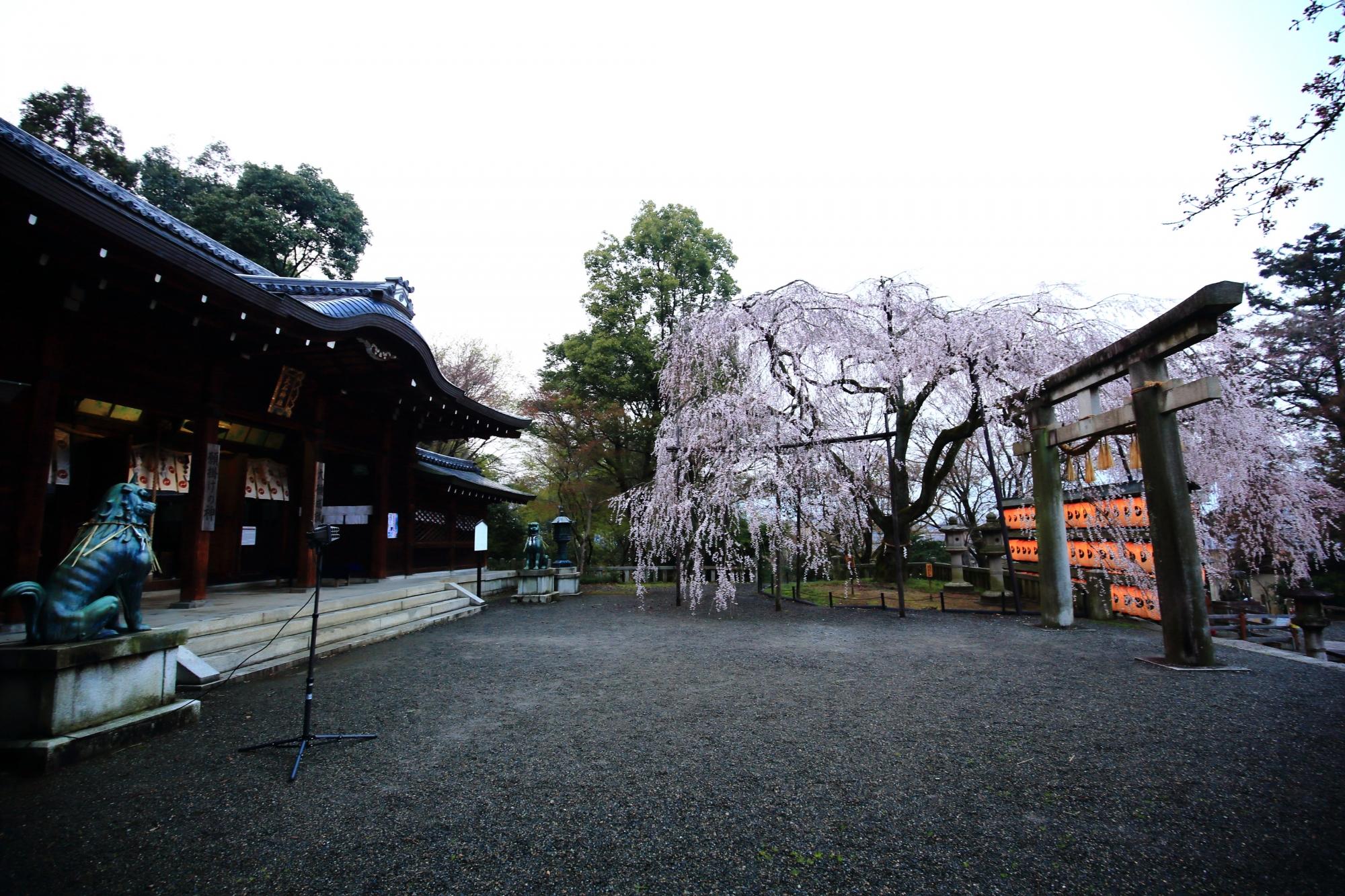 立派に構える本殿と華やかなしだれ桜