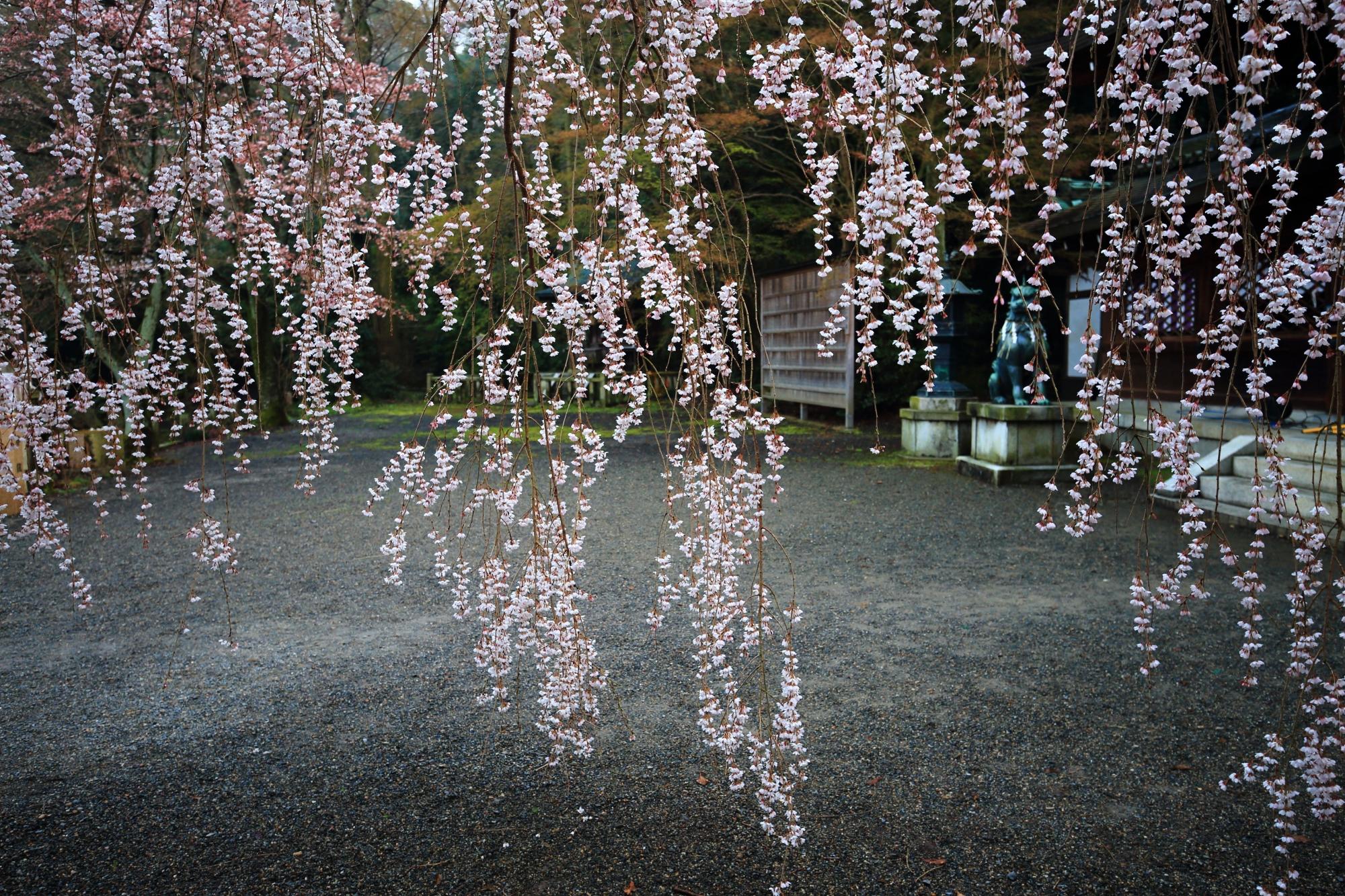 風に揺らぐしなやかなしだれ桜