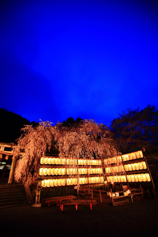 葵色の空の下で咲き誇るしだれ桜