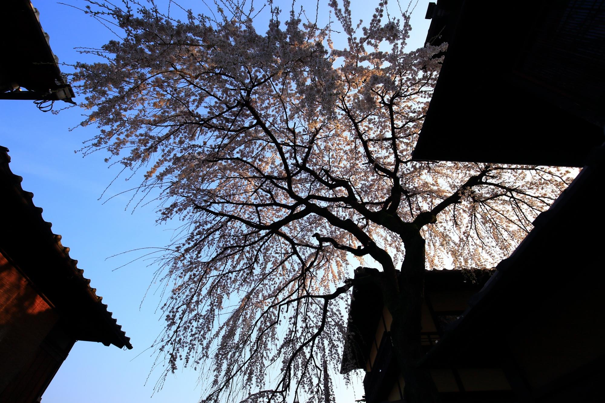 空を華やかな春色に染める産寧坂の立派なしだれ桜