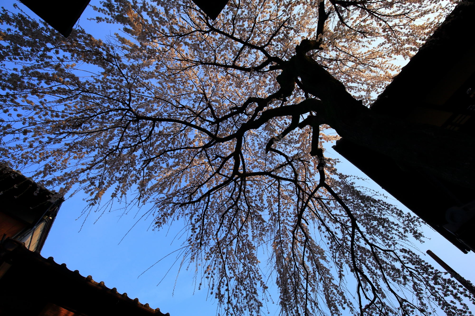 建物が良いシルエットとなり豪快に溢れ出す三年坂のしだれ桜