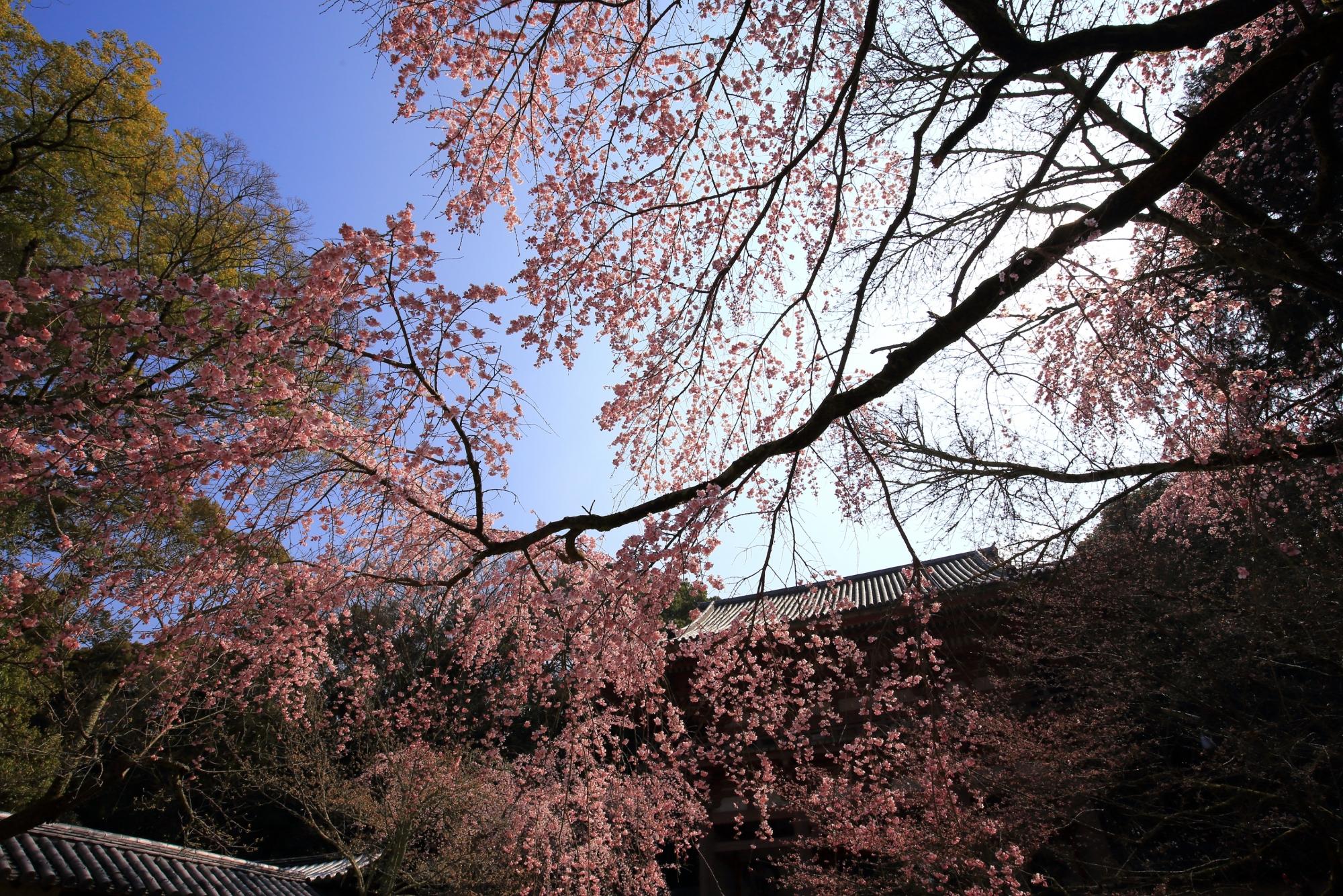 空と仁王門を覆う雄大な桜
