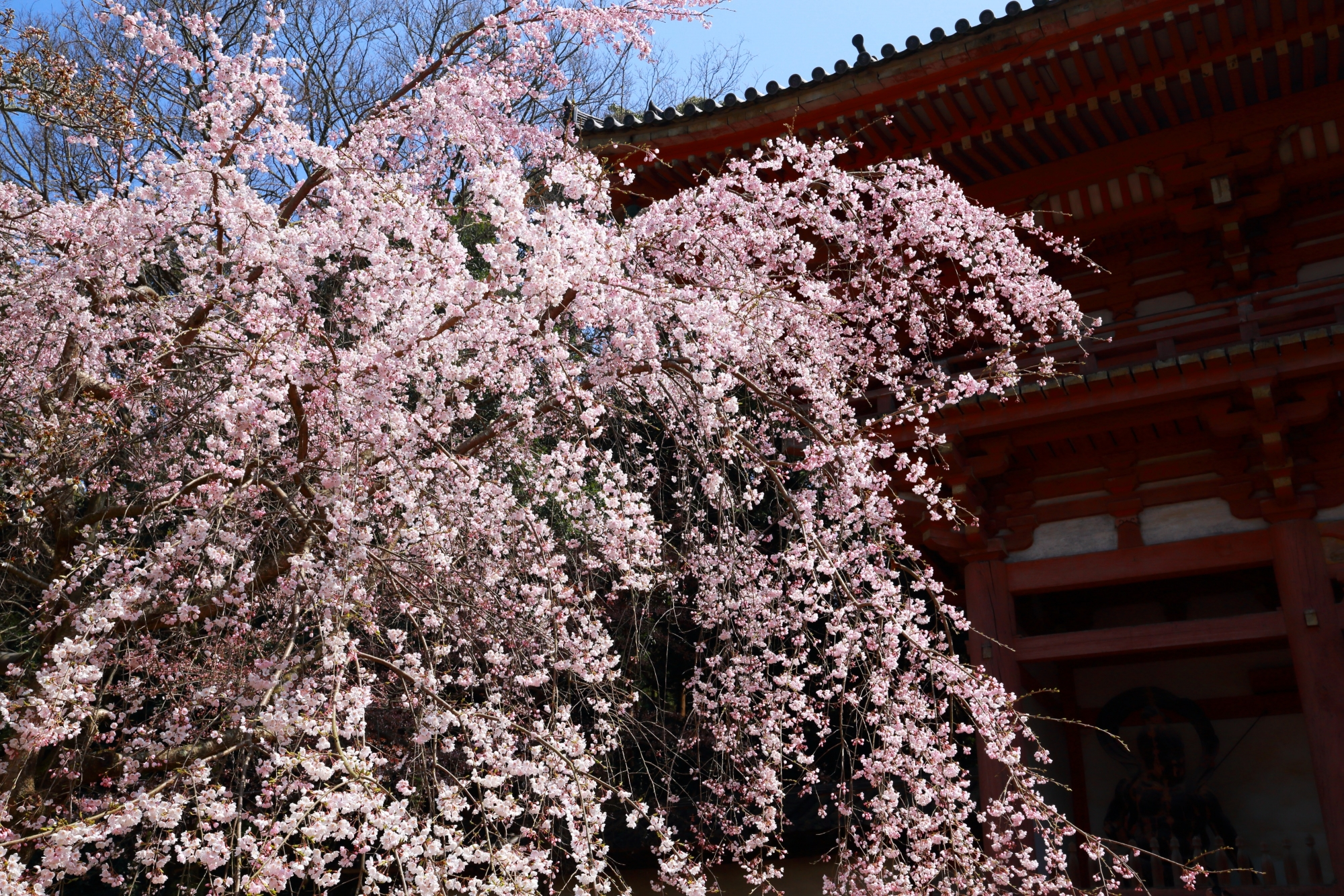 仁王門を彩る春色のしだれ桜