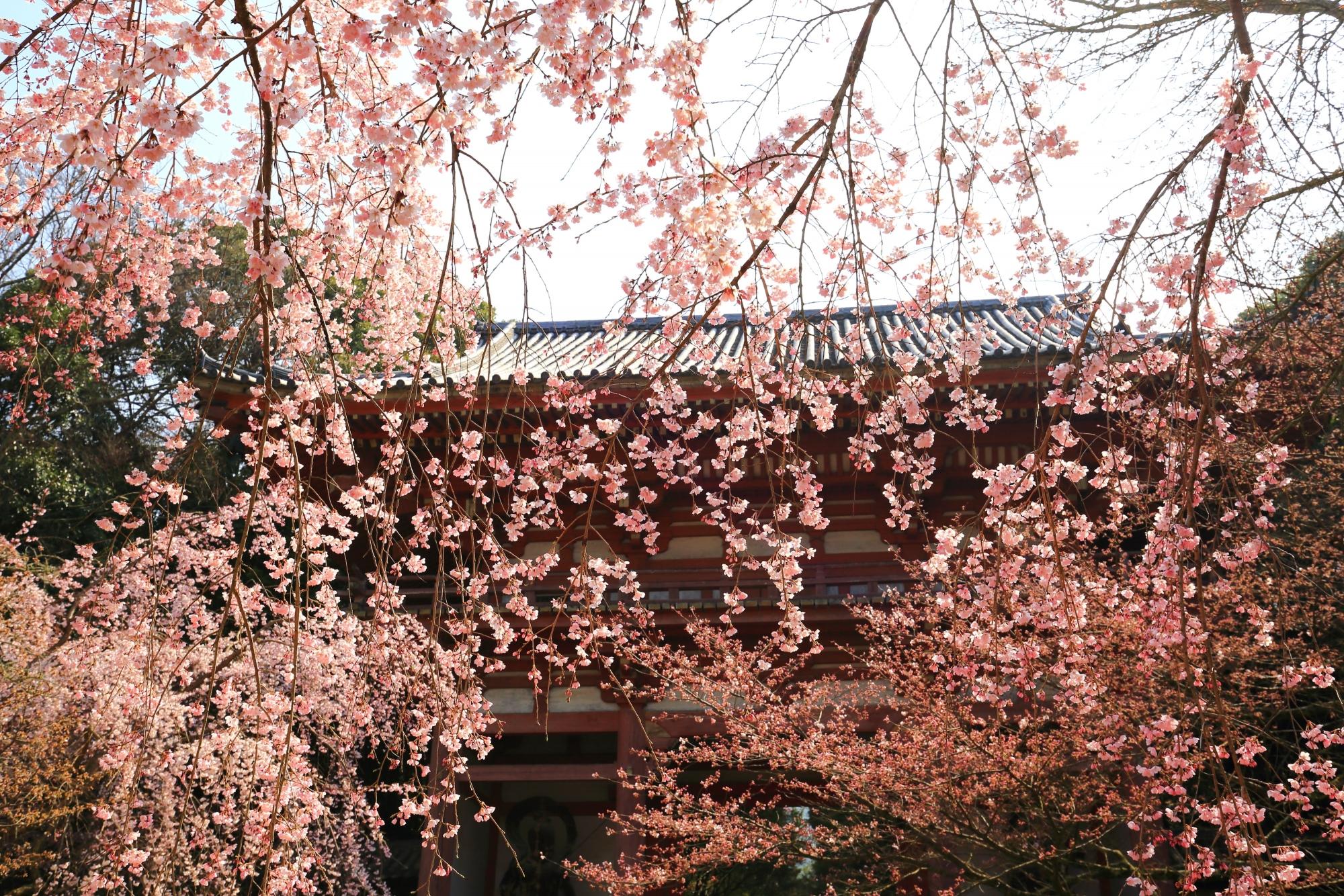 仁王門に降り注ぐ華やかな桜