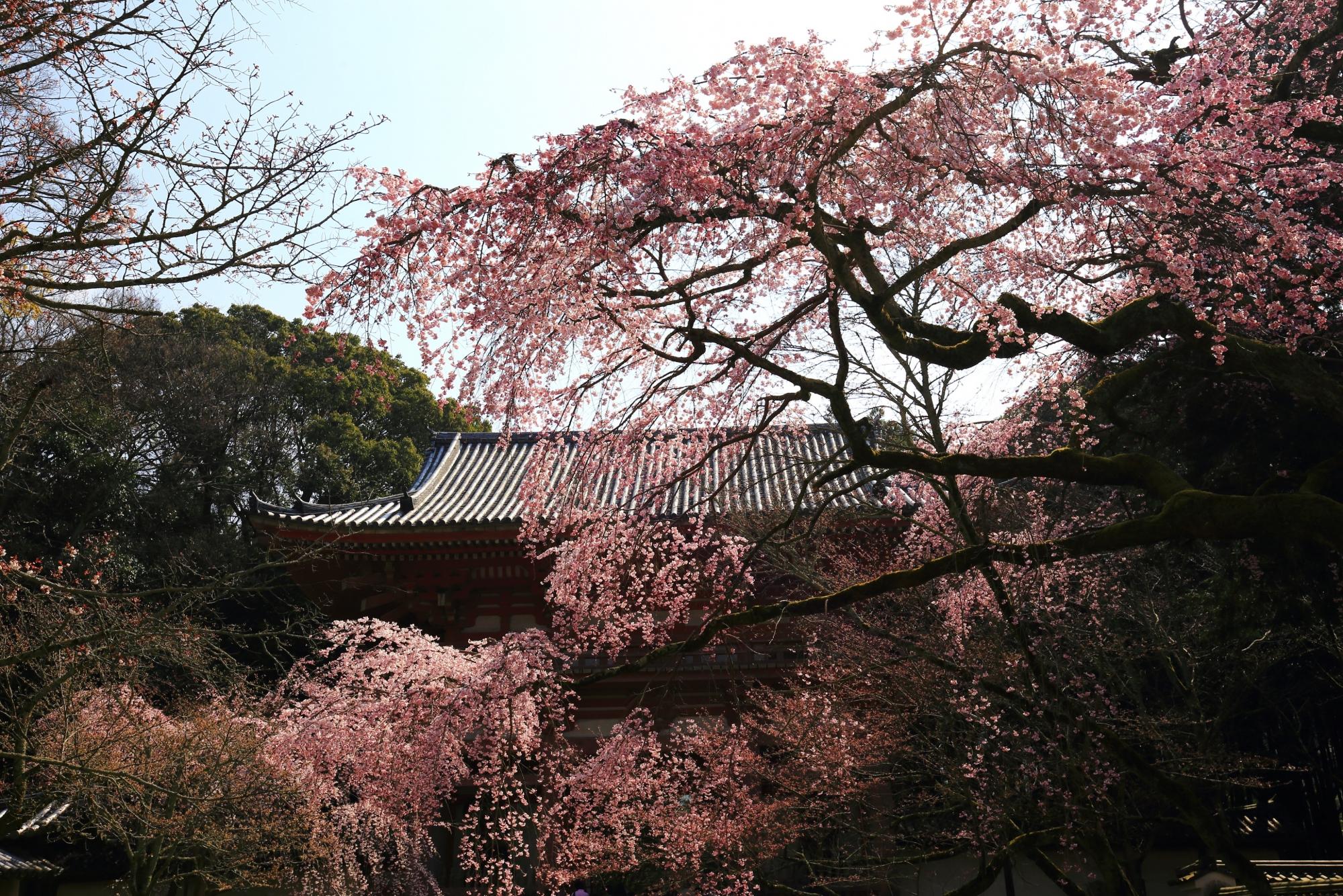 醍醐寺の仁王門と鮮やかで大きなしだれ桜