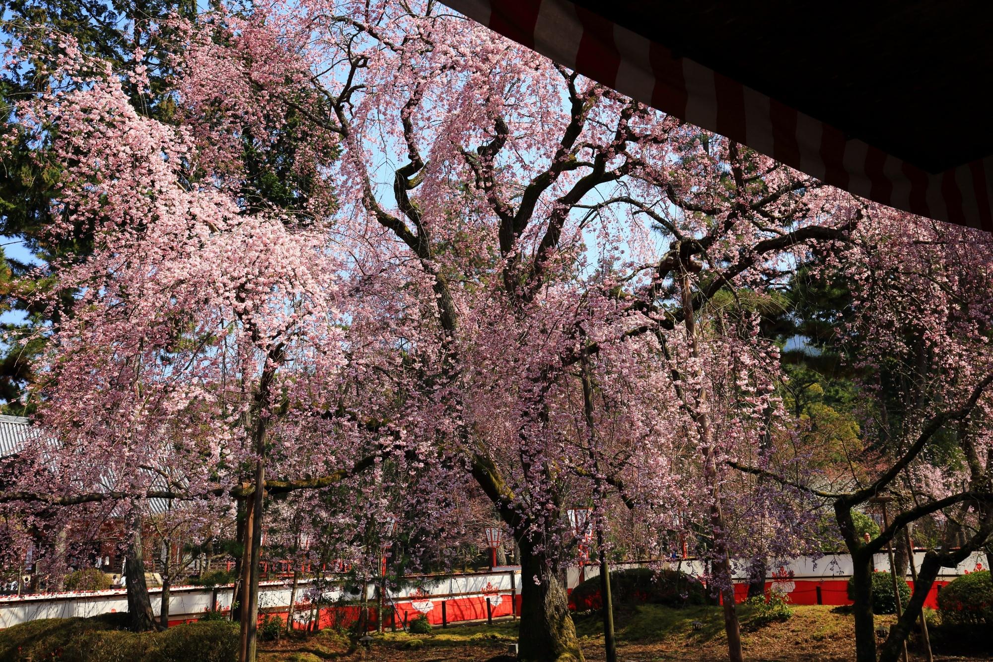清瀧宮拝殿の下から眺める咲き乱れる桜