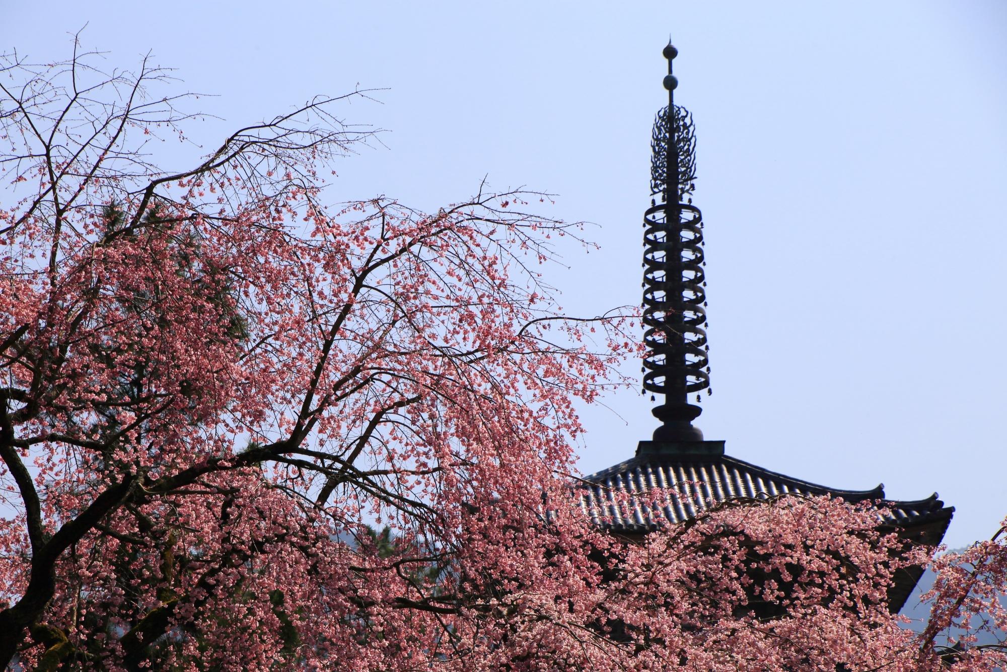 弾ける桜の中に佇む醍醐寺の五重塔