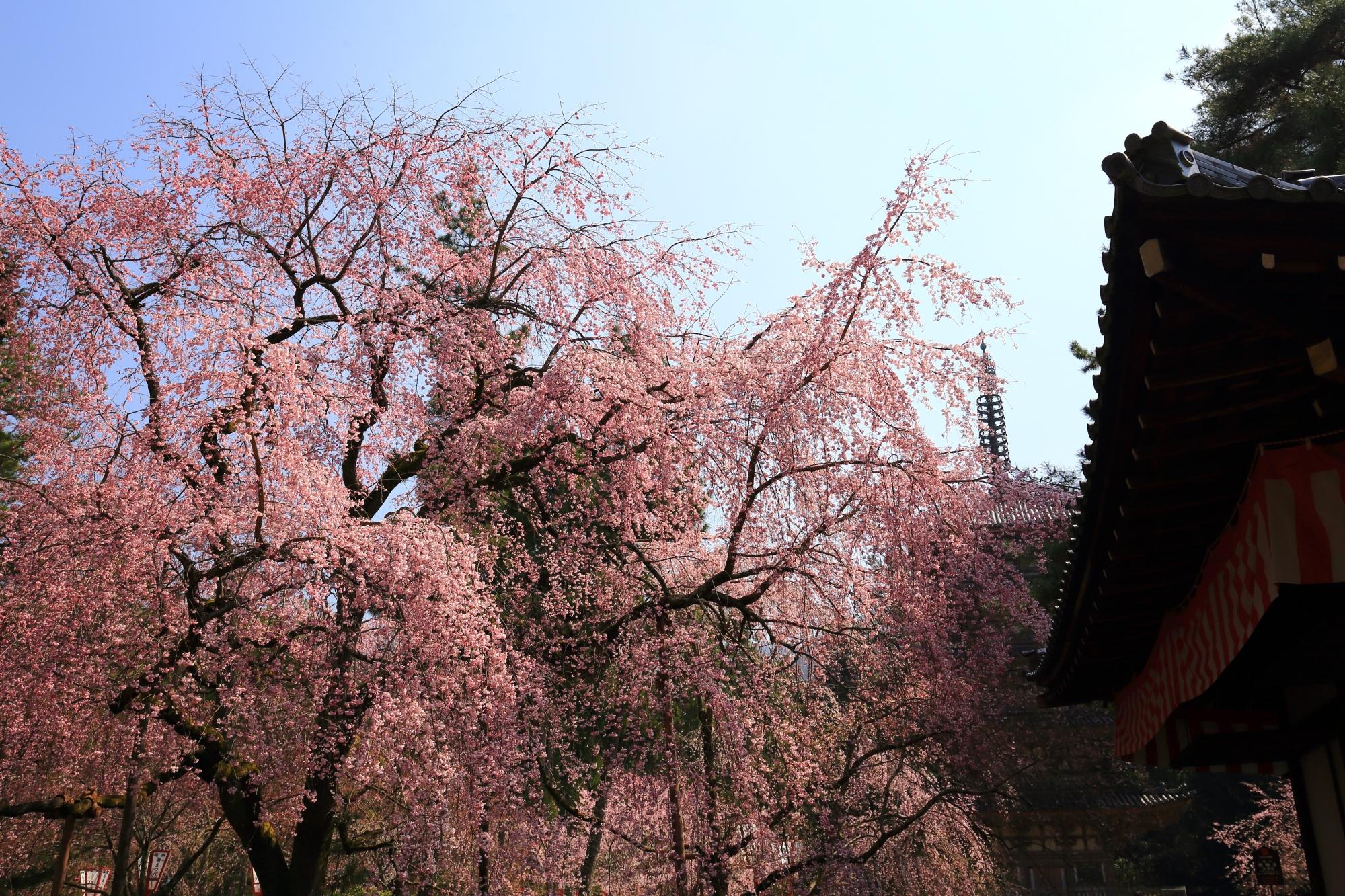 清瀧宮の拝殿横の豪快な桜