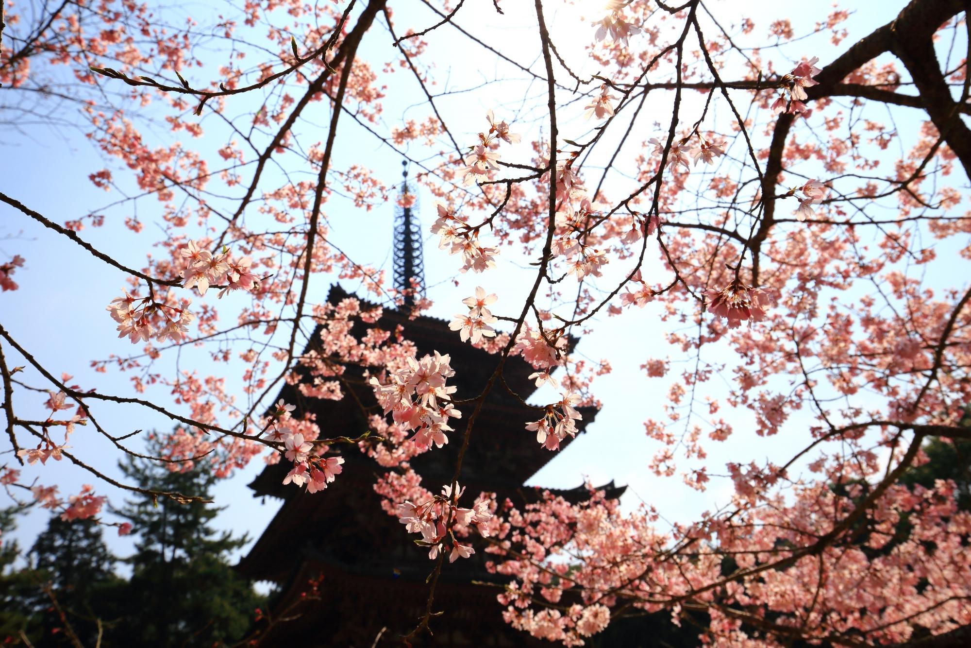 下から見上げた五重塔と彩りの桜