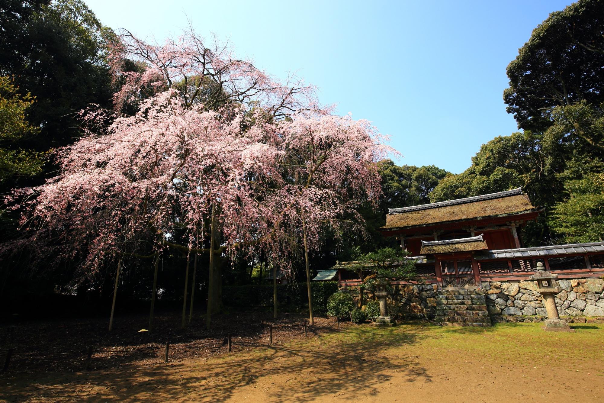 醍醐寺の清瀧宮の本殿と溢れる桜
