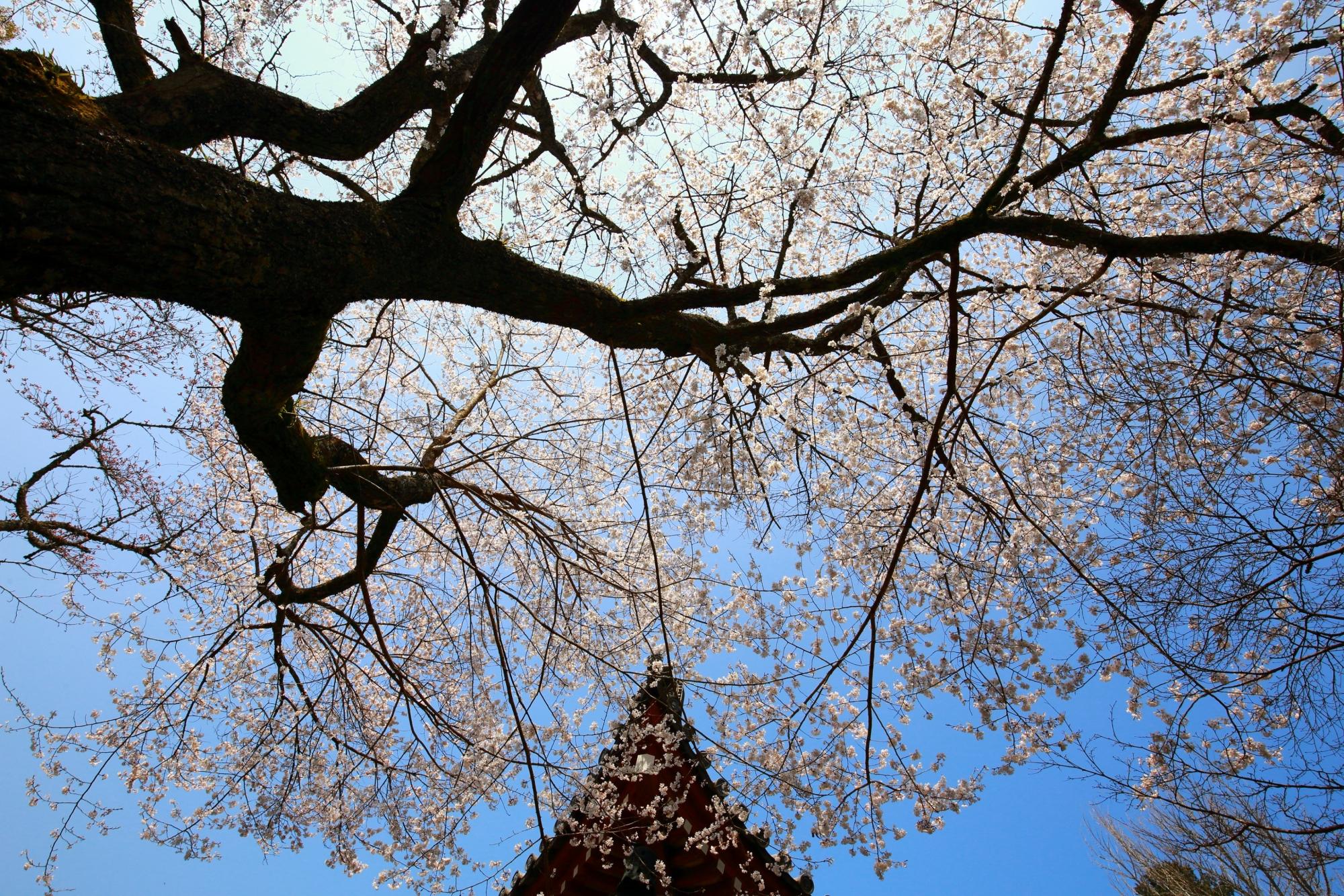 青空と観音堂を煌びやかに彩る見事な桜