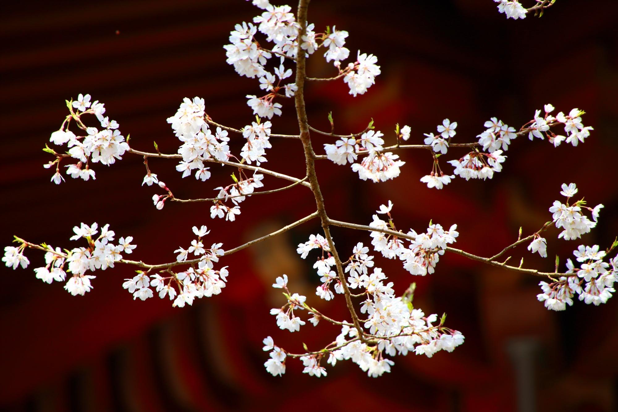 朱色の庇に映える雅な雰囲気のする桜