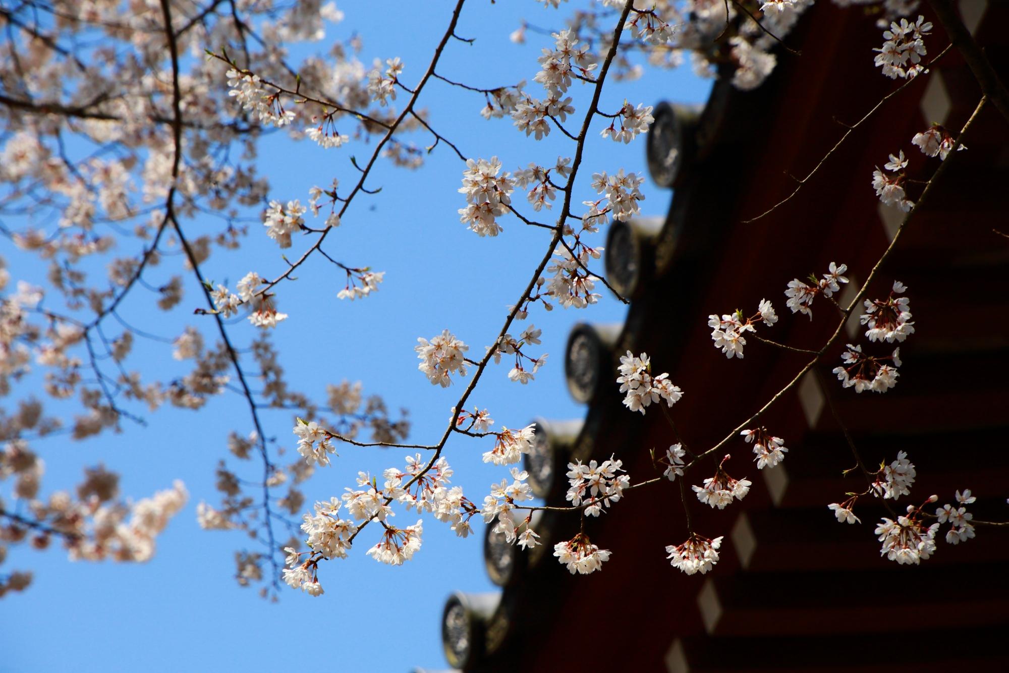 醍醐寺の観音堂と上品な桜