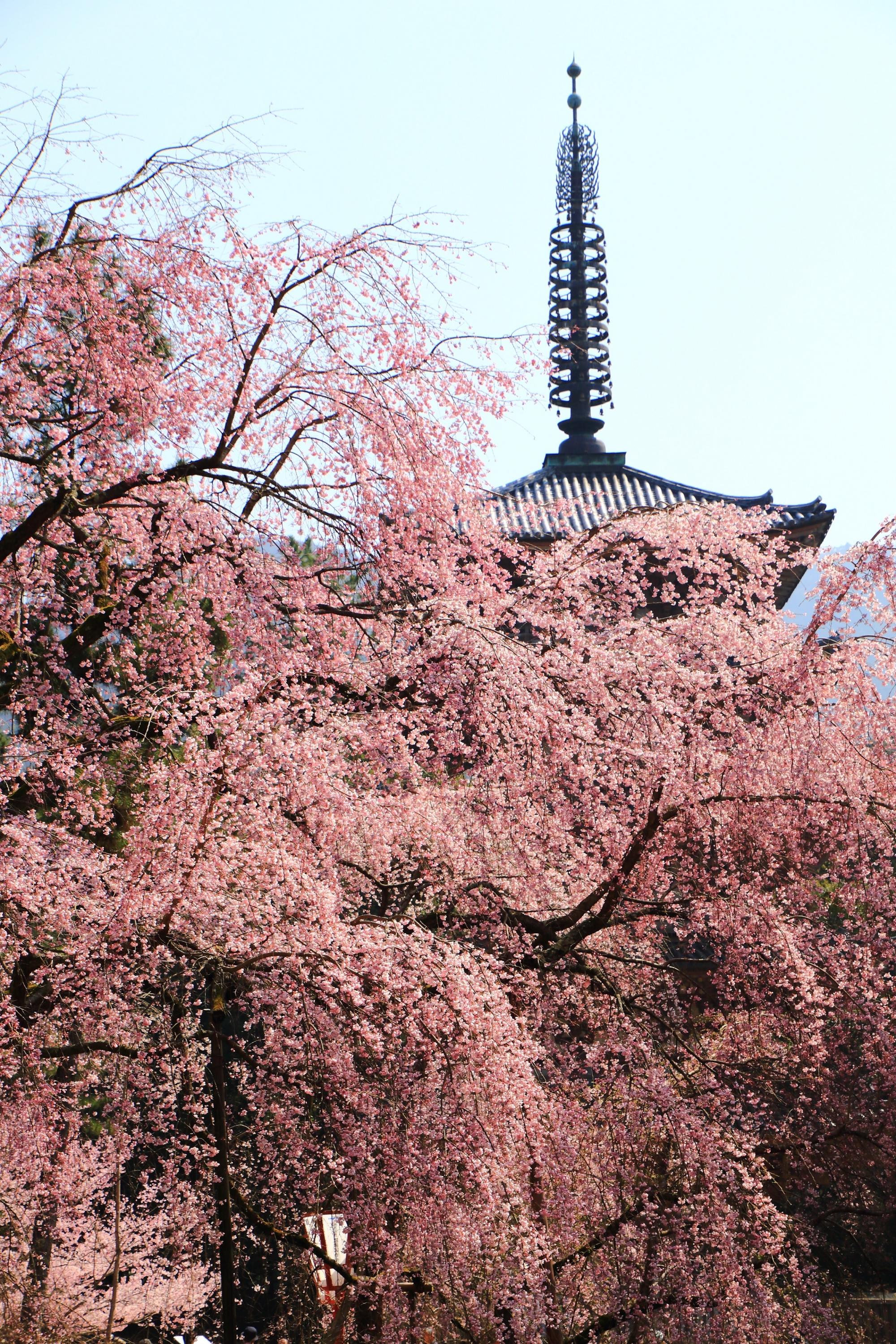 五重塔を春色に染める絶品のしだれ桜