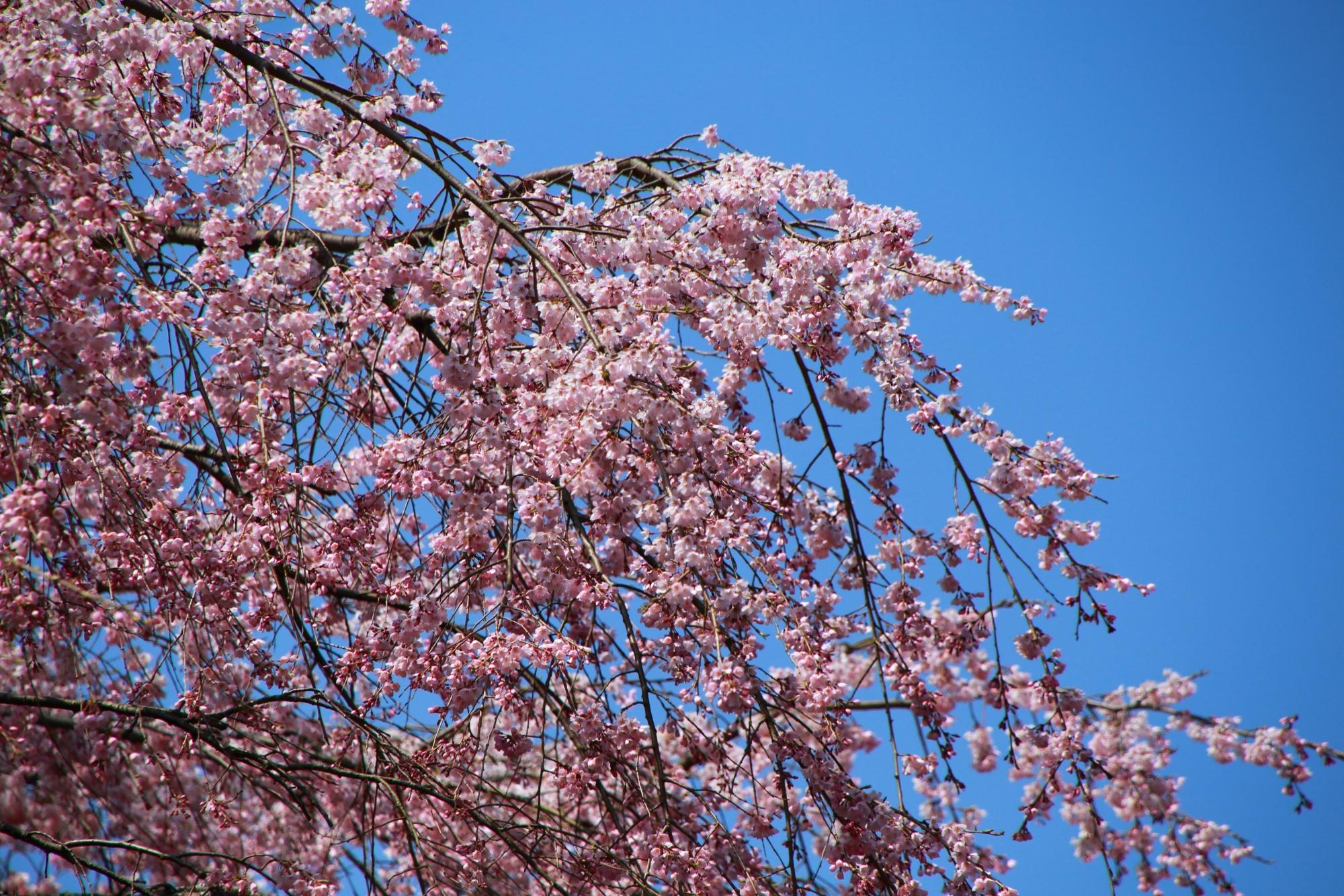 青空を華やかなピンクに彩るさくら