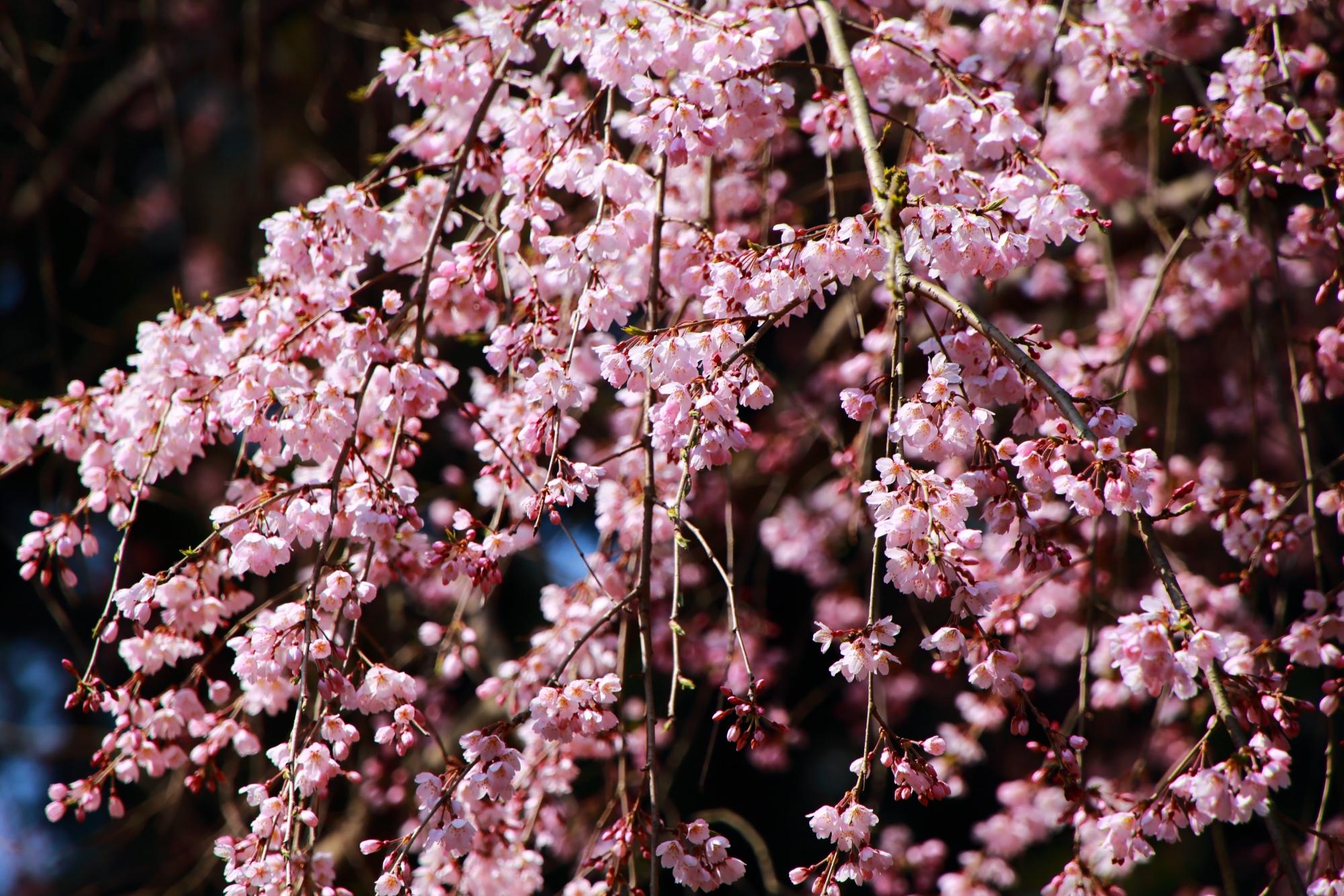 可憐で繊細な花をいっぱいつける桜