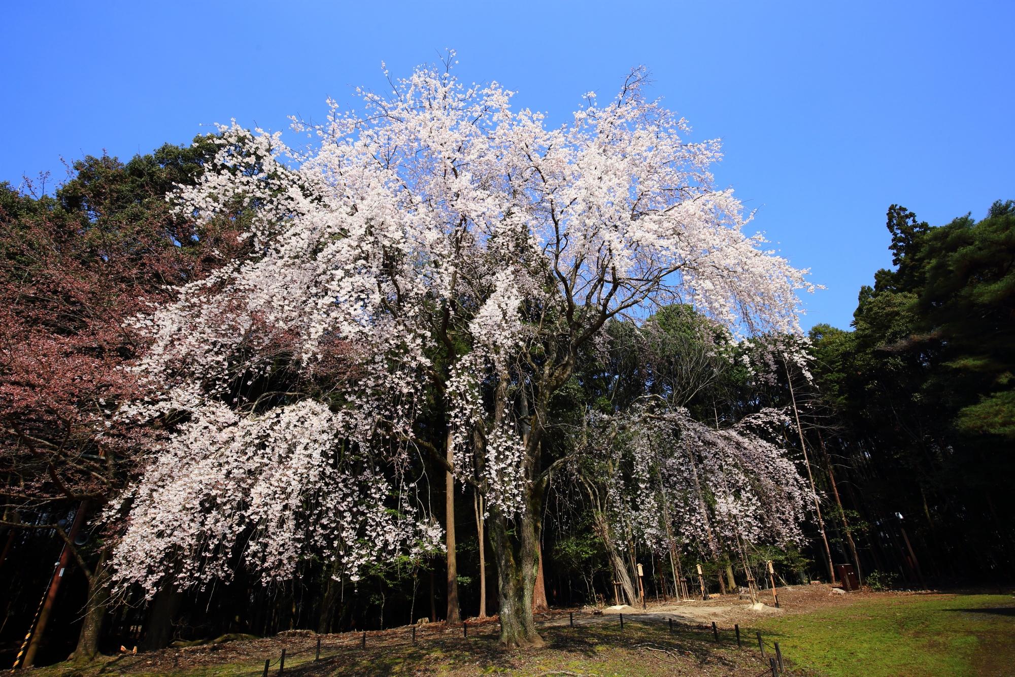 圧倒的な存在感を放つ豪快な桜
