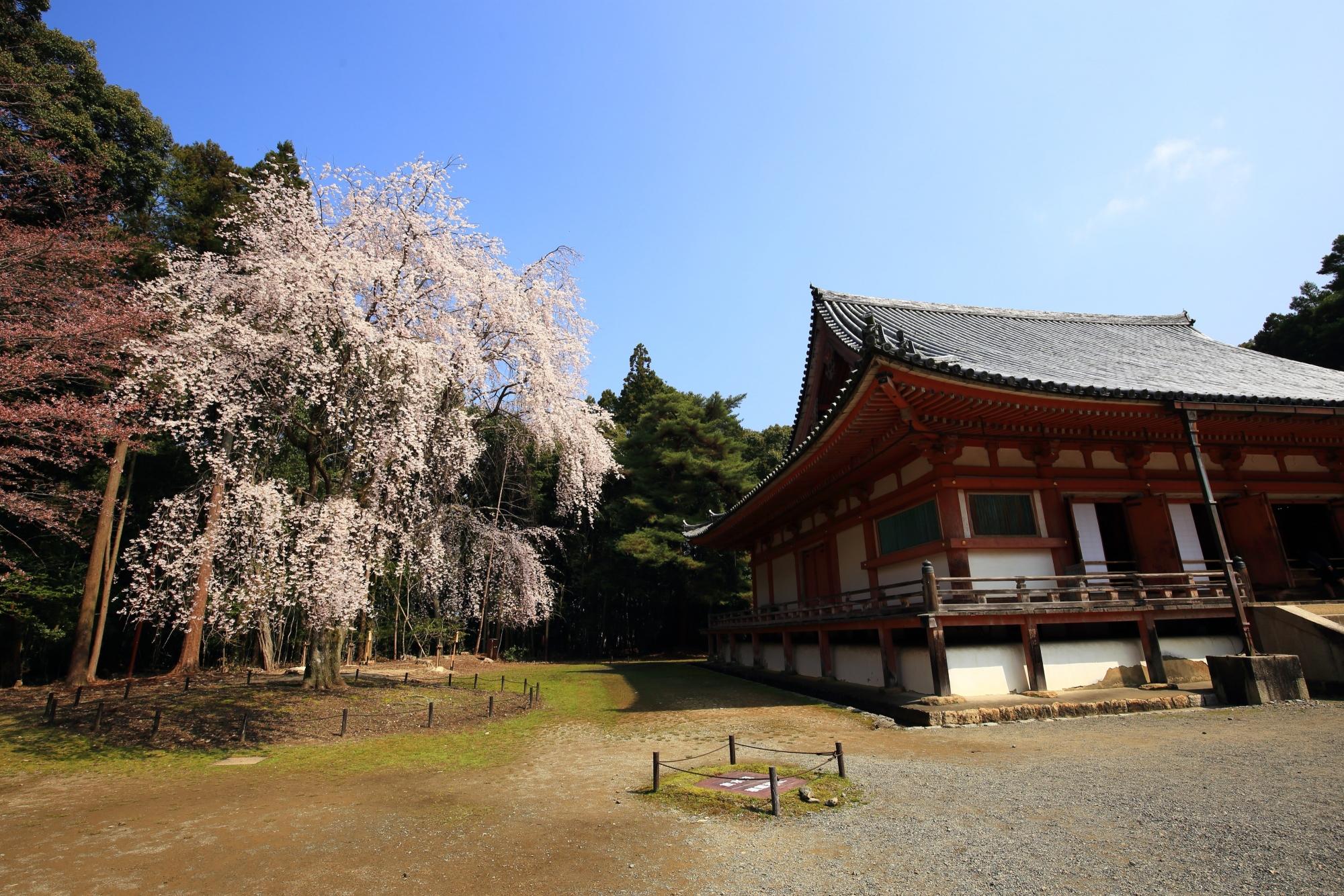 醍醐寺の金堂としだれ桜