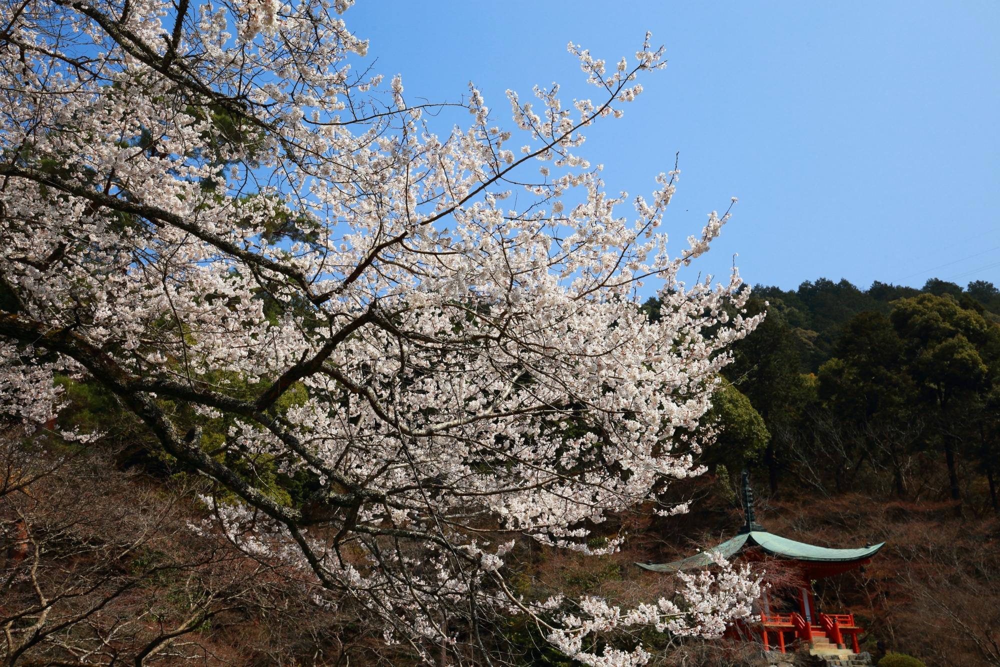 水辺と弁天堂を春色につつむ桜